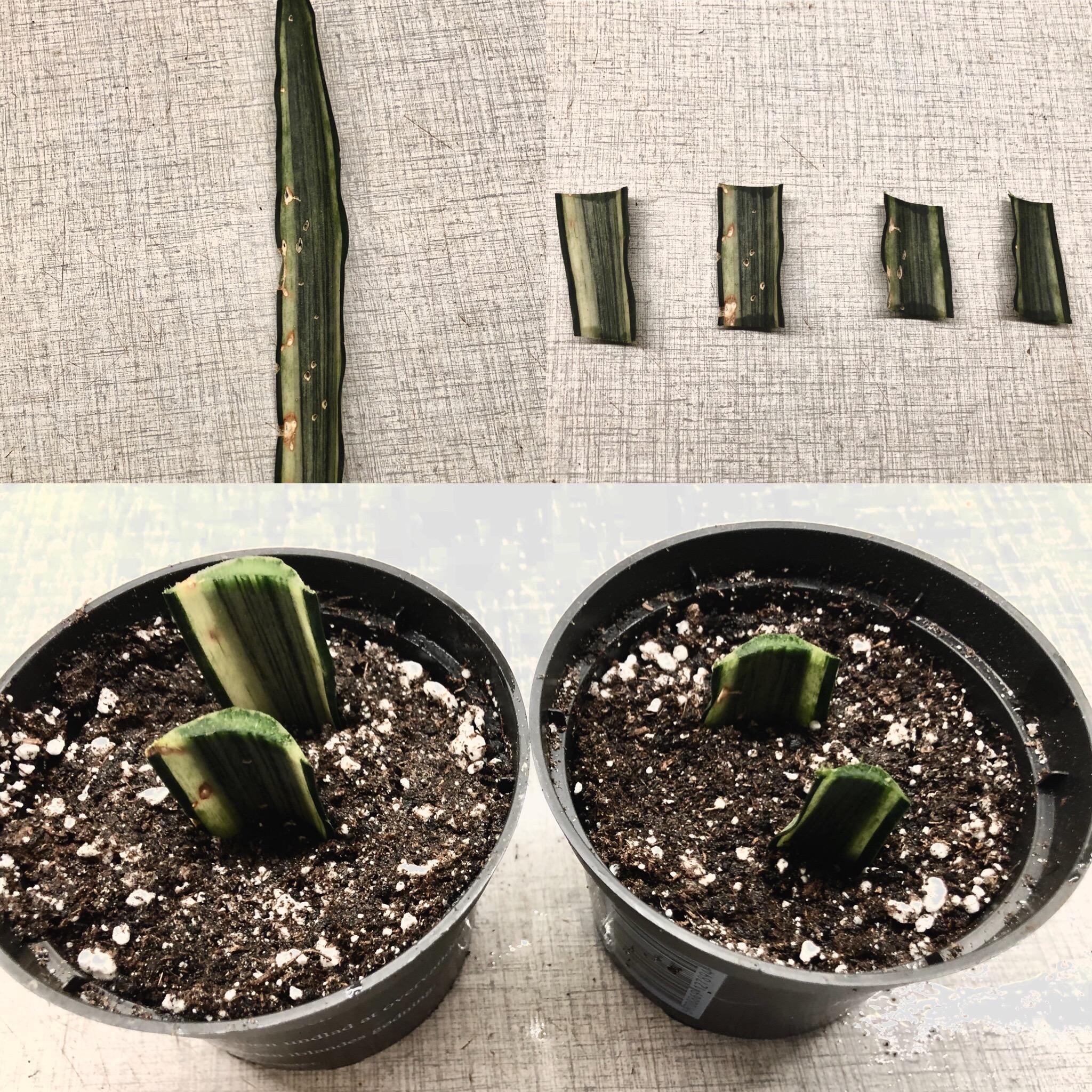 Jeg forsøger mig med at formere en af mine Sansevaria. Bladet her blev noget medtaget, da vi havde kattekillinger, så jeg har klippet det af og i fire stykker. Dem stikker jeg i jord, og så burde de slå rødder. Dog er det vigtigt, at bladstumpen vender samme vej, som da det voksede på planten.