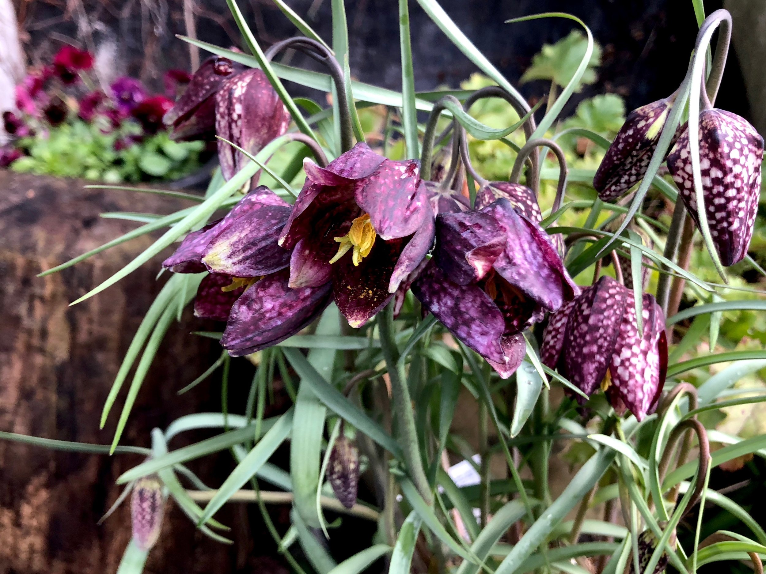 Vi slutter lige med et billede af de fine, ternede vibeæg. De små løg kan plantes ud i haven, når de er afblomstret. De kan både lægges i bede, men faktisk også i græsplænen, hvis du ellers er med på at lade den blive langhåret om foråret.