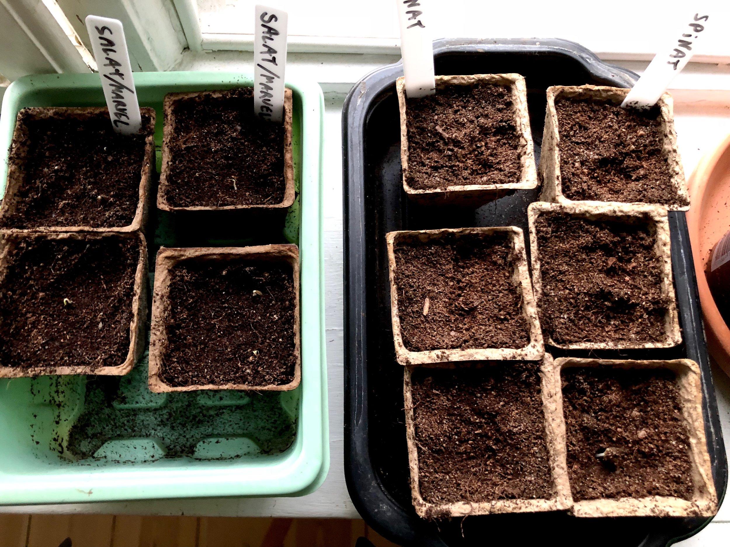 Forspiring af salat og spinat. I dag er planterne et par centimeter høje. Jeg har flyttet halvdelen ud i drivbænk forleden dag, og de har klaret de første nætter fint, så resten flytter også ud i dag. Så har jeg plads til at starte næste hold planter i vindueskarmen.