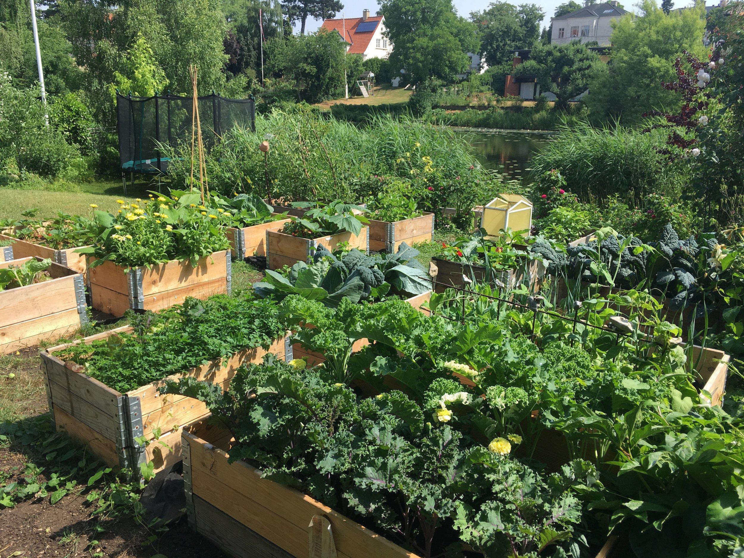 Køkkenhaven sidste år i juni. Sidste år voksede den i kommunens kompost. Her til vinter har den fået et lag af min hjemmelavede, så jeg har store forventninger