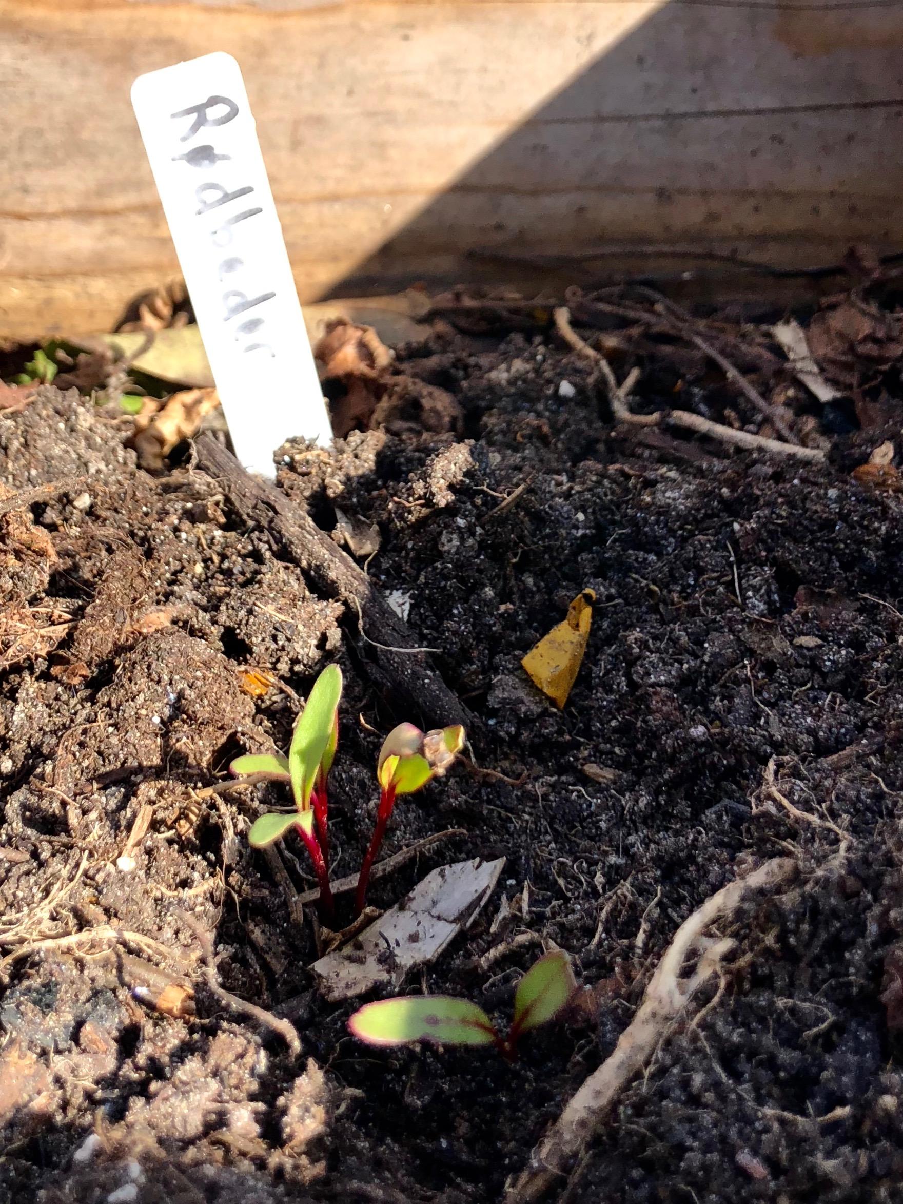 Hele den lille potte med rødbedespirer er plantet ud i køkkenhaven. Planterne er sået langt tættere, end frøposen foreskriver, og rødbederne kommer til at gnubbe sig lidt op ad hinanden, men det fungerer fint, når jeg bare altid høster den største ved forsigtigt at vride den fri af jorden.