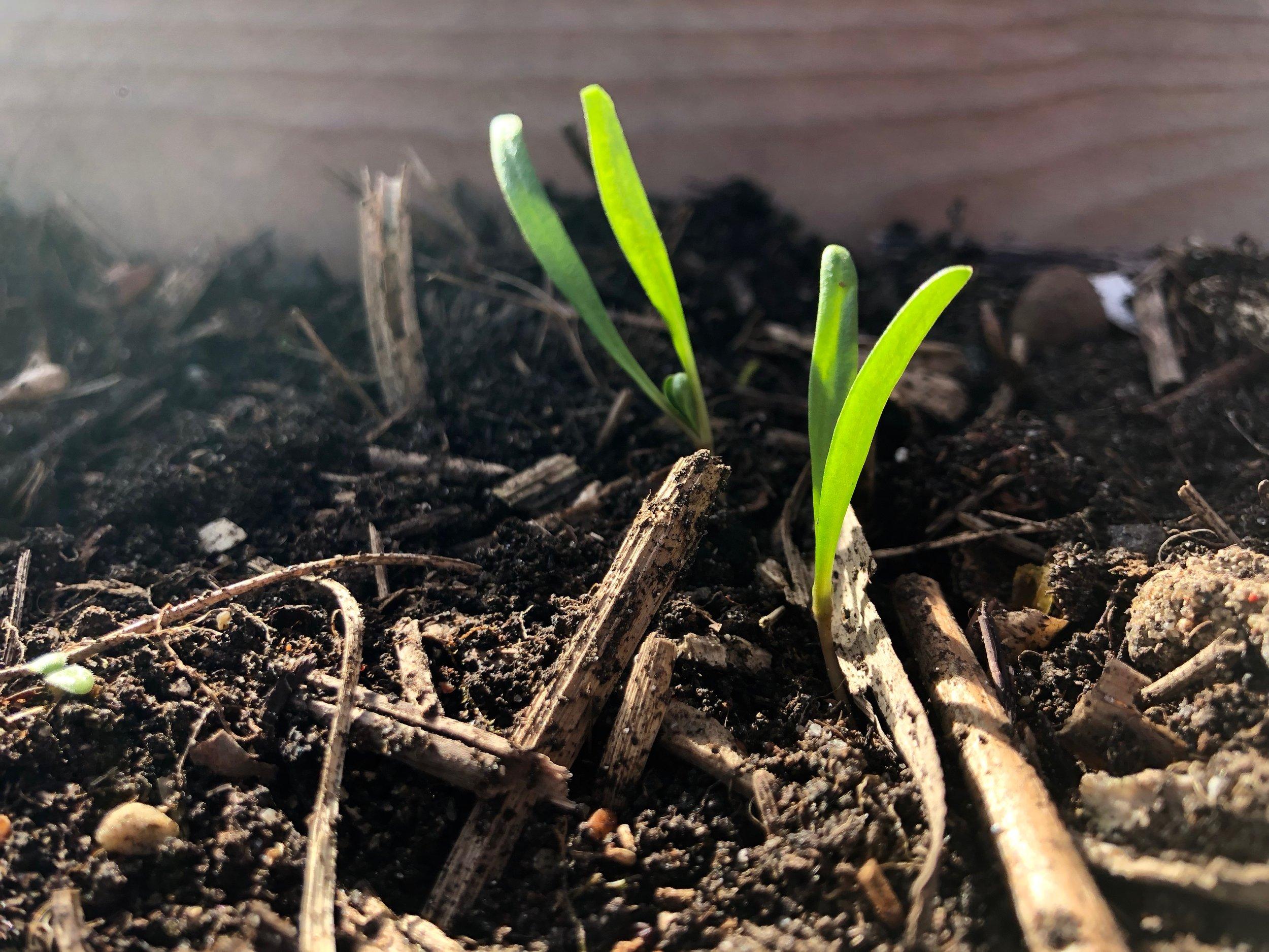 Her kan I se et par af spinatplanterne fra såbakkerne på billedet længere oppe. Nu flyttet ud i køkkenhaven under dække - i den lidt grove hjemmelavede kompost, som er mit andet bedste trick til din køkkenhave. Det kan du læse om  her.