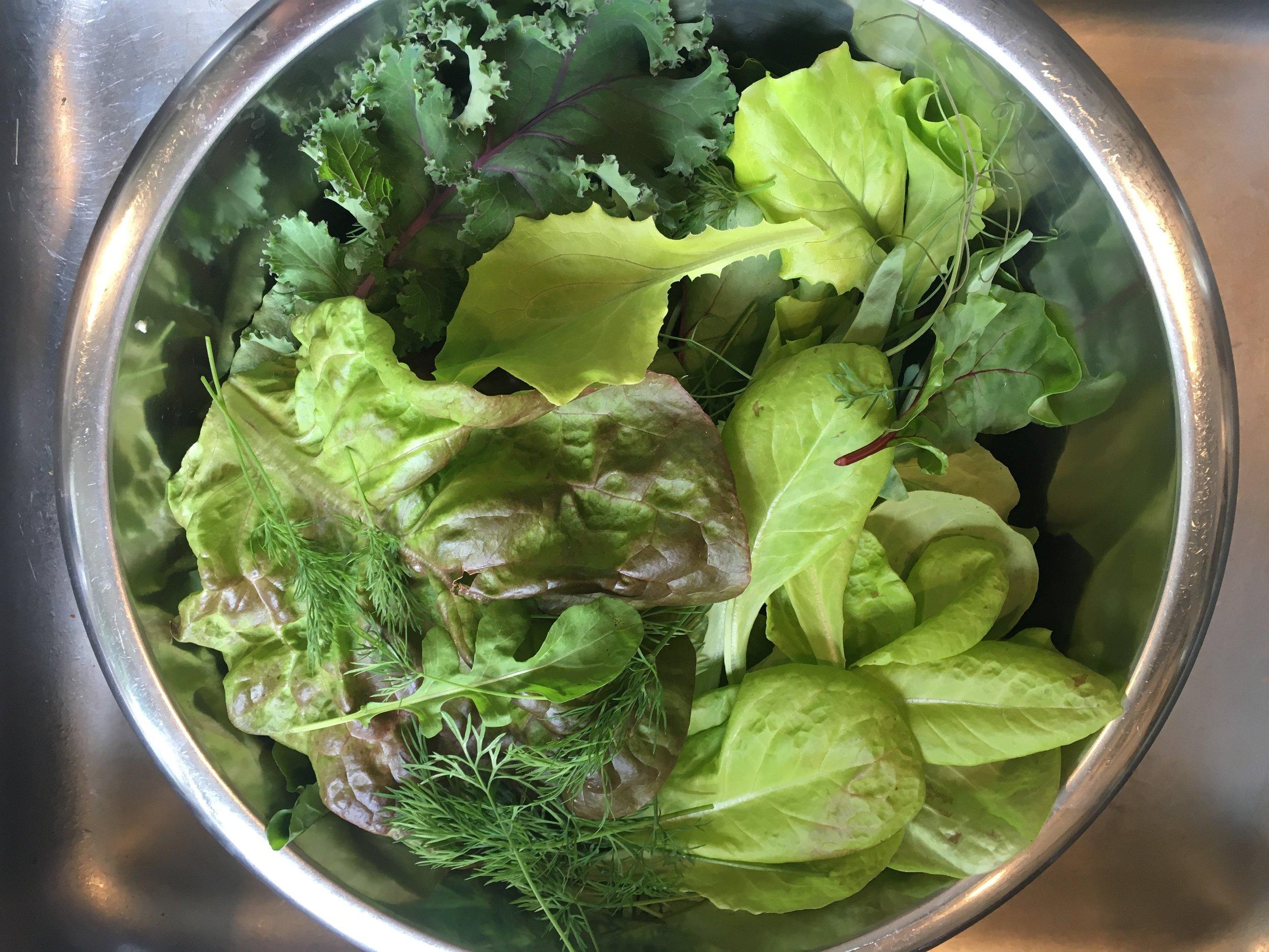 """Hvis du hele tiden nøjes med at høste de yderste blade fra salathovederne, så vil de gro videre og give dig salat i mange uger. På den måde får de også en lille """"stamme"""" nærmest, og det er sværere for sneglebøllerne af komme til dem."""