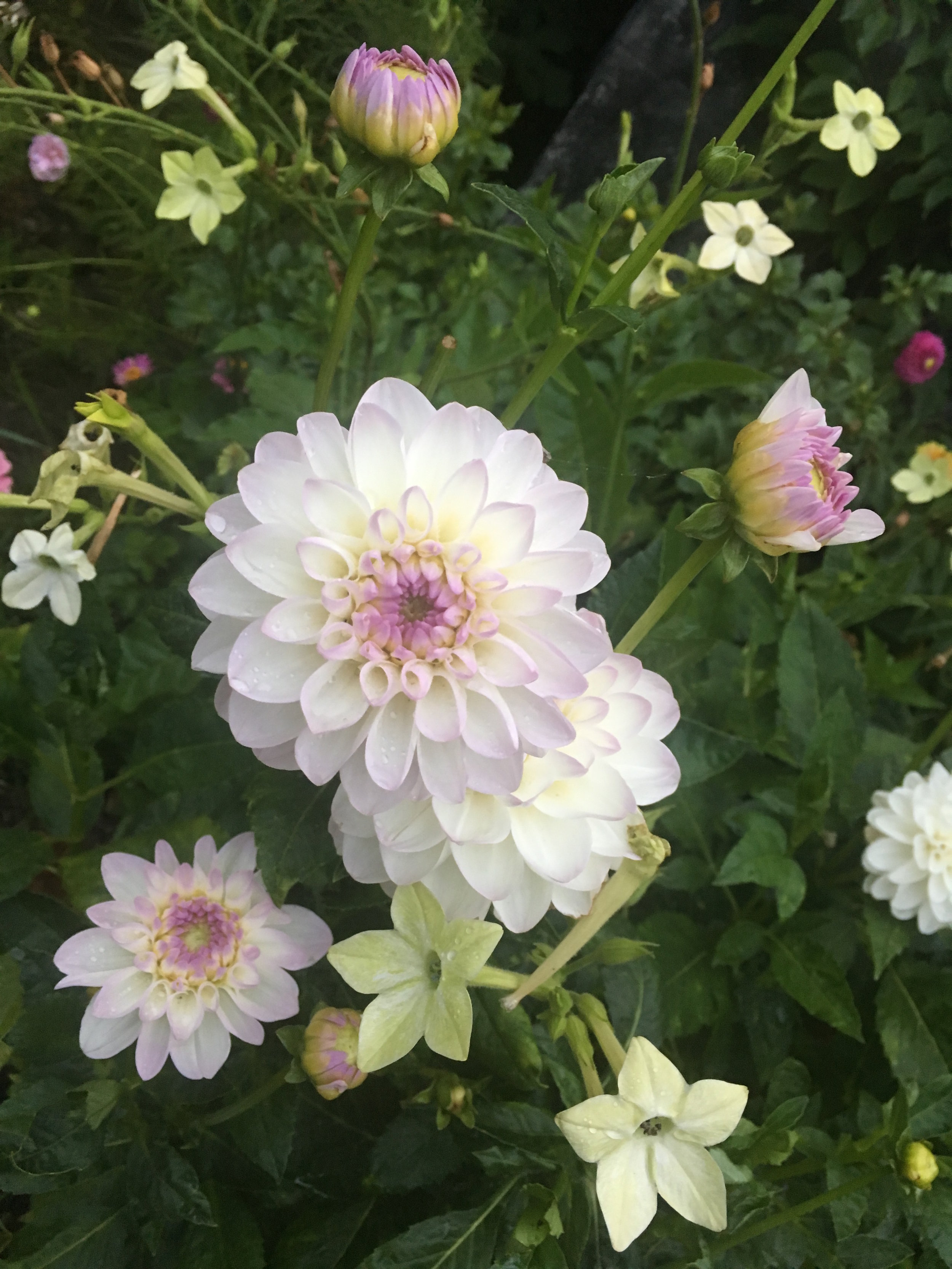 Sådan kan jeg bedst lide georginer: i selskab med andre blomster. Her er det 'Eveline' i selskab med prydtobak Nicotiana alata 'Lime Green'.