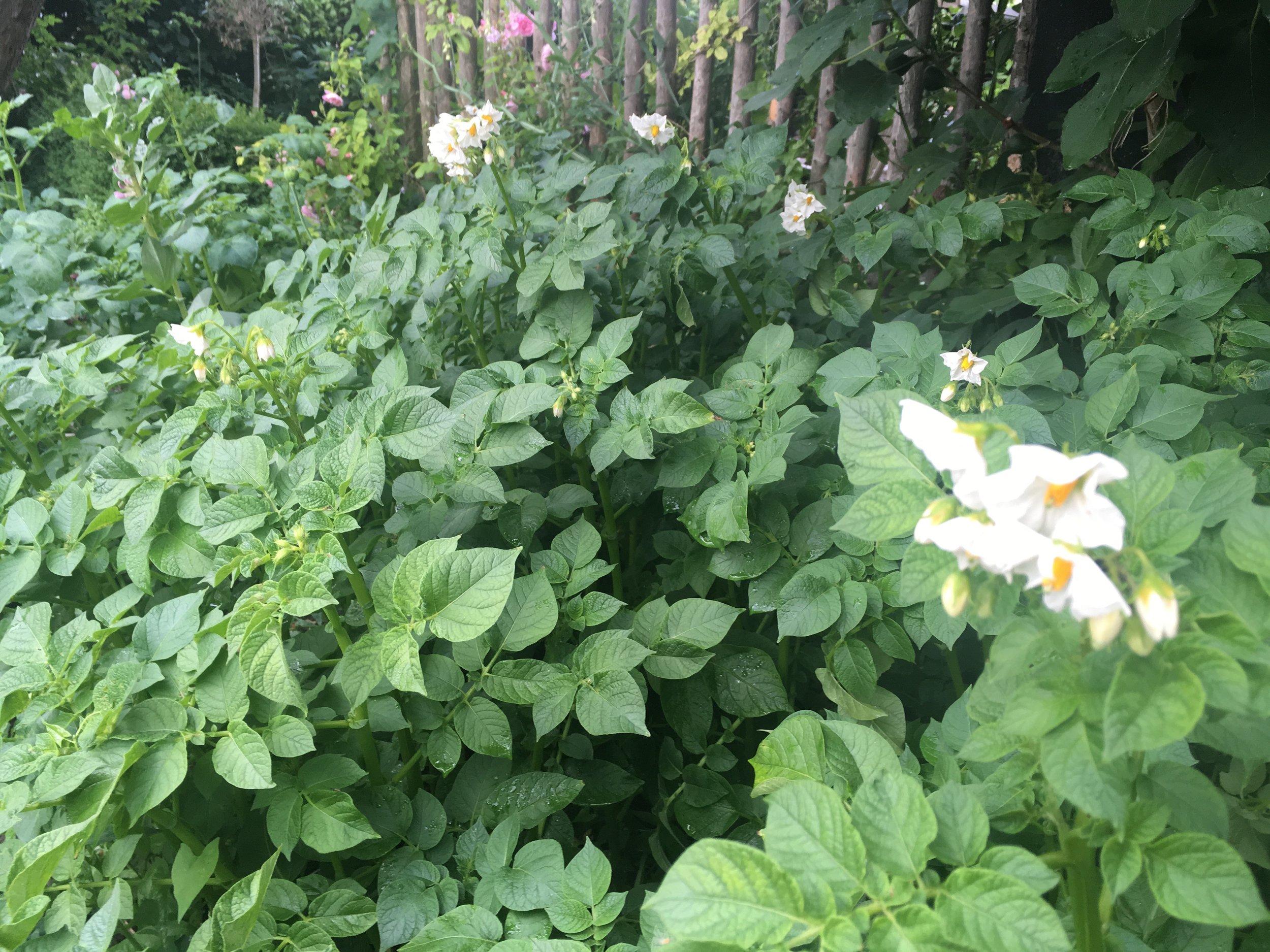 Når de tidlige kartofler er høstet, kan du plante afgrøder, der kræver mere varme.