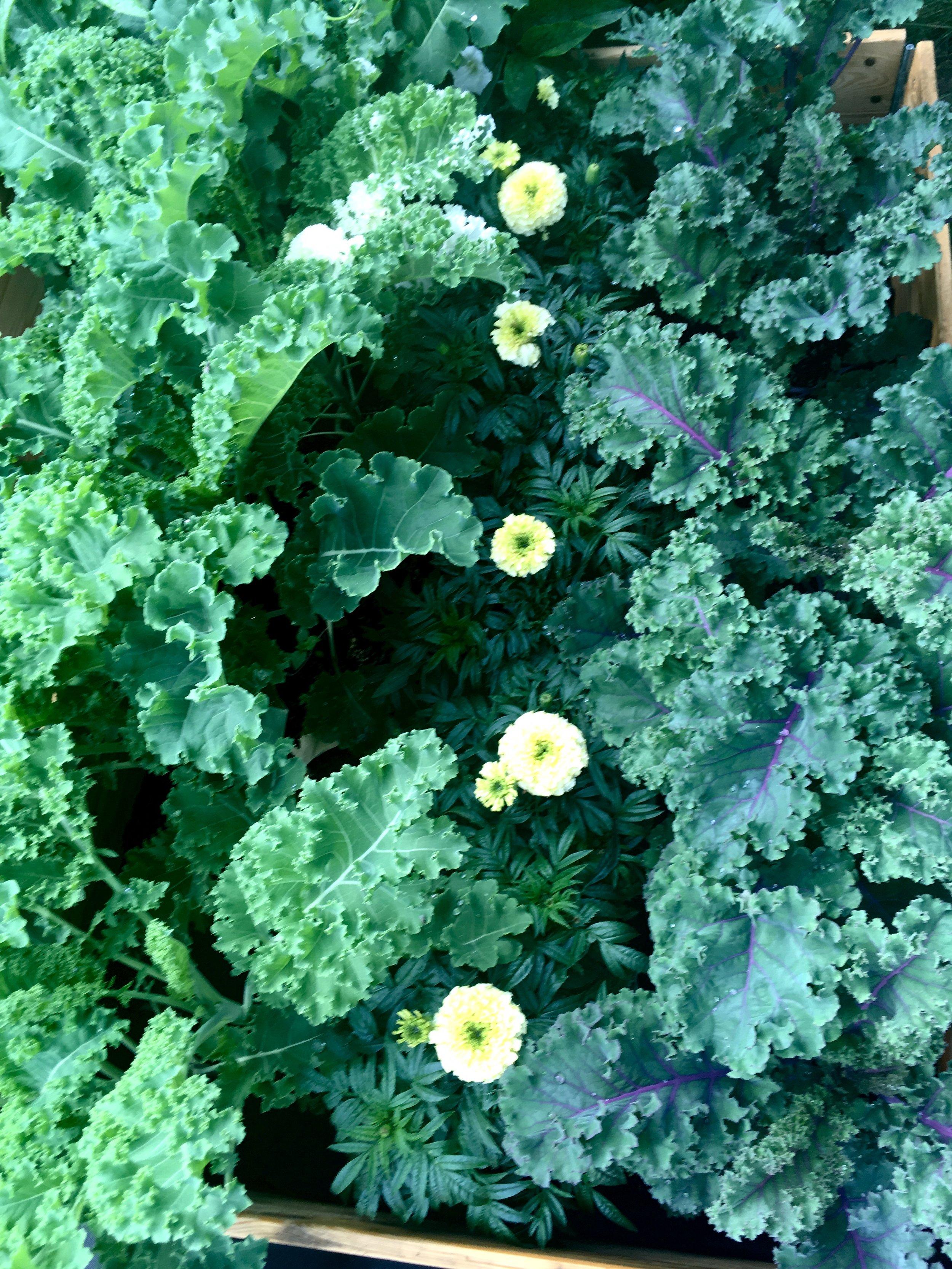 Grønkål sammen med hvid tagetes af sorten 'Vanilla'.