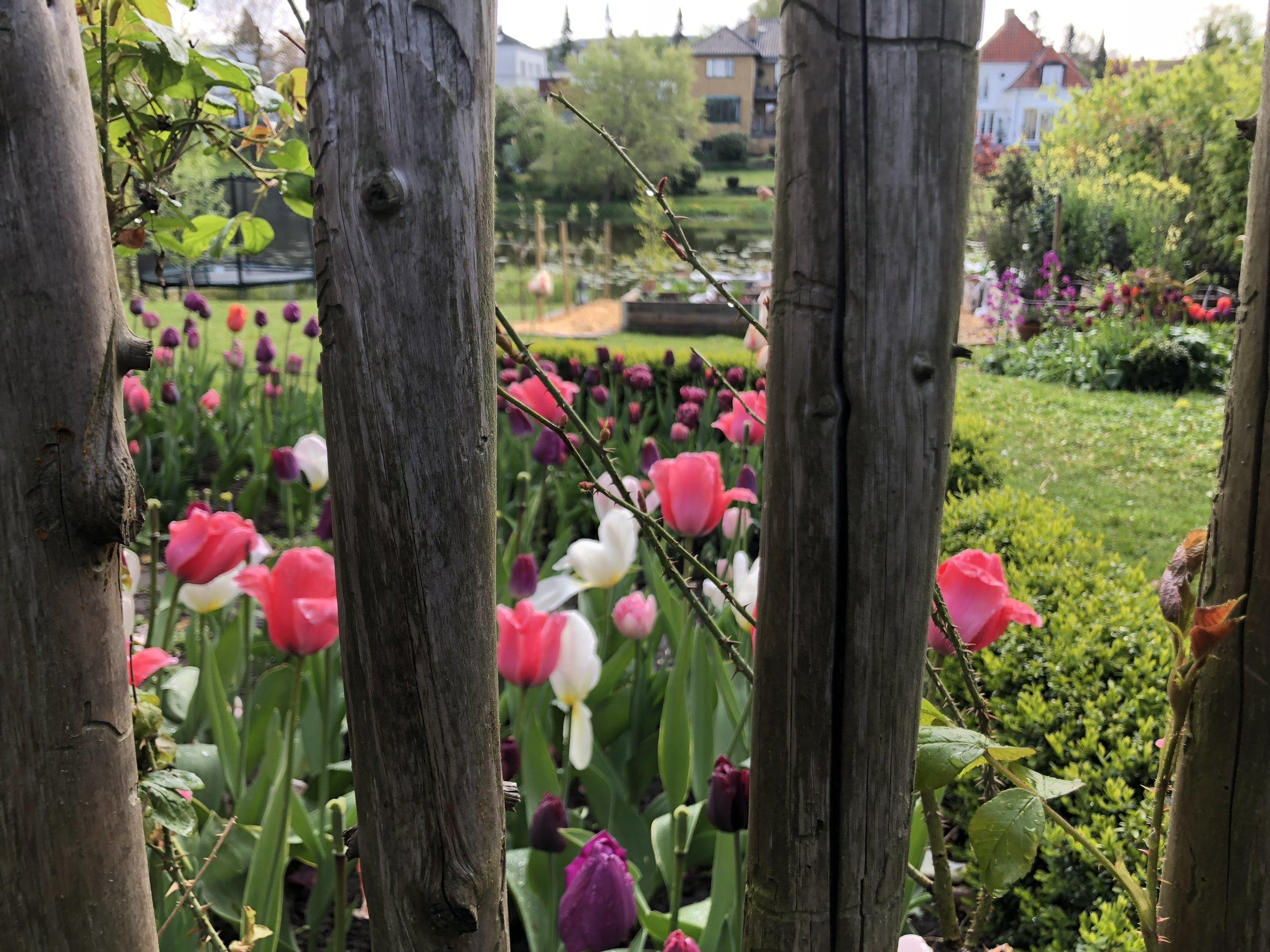 Et kig mod køkkenhaven fra terrassen hen over tulipanerne.