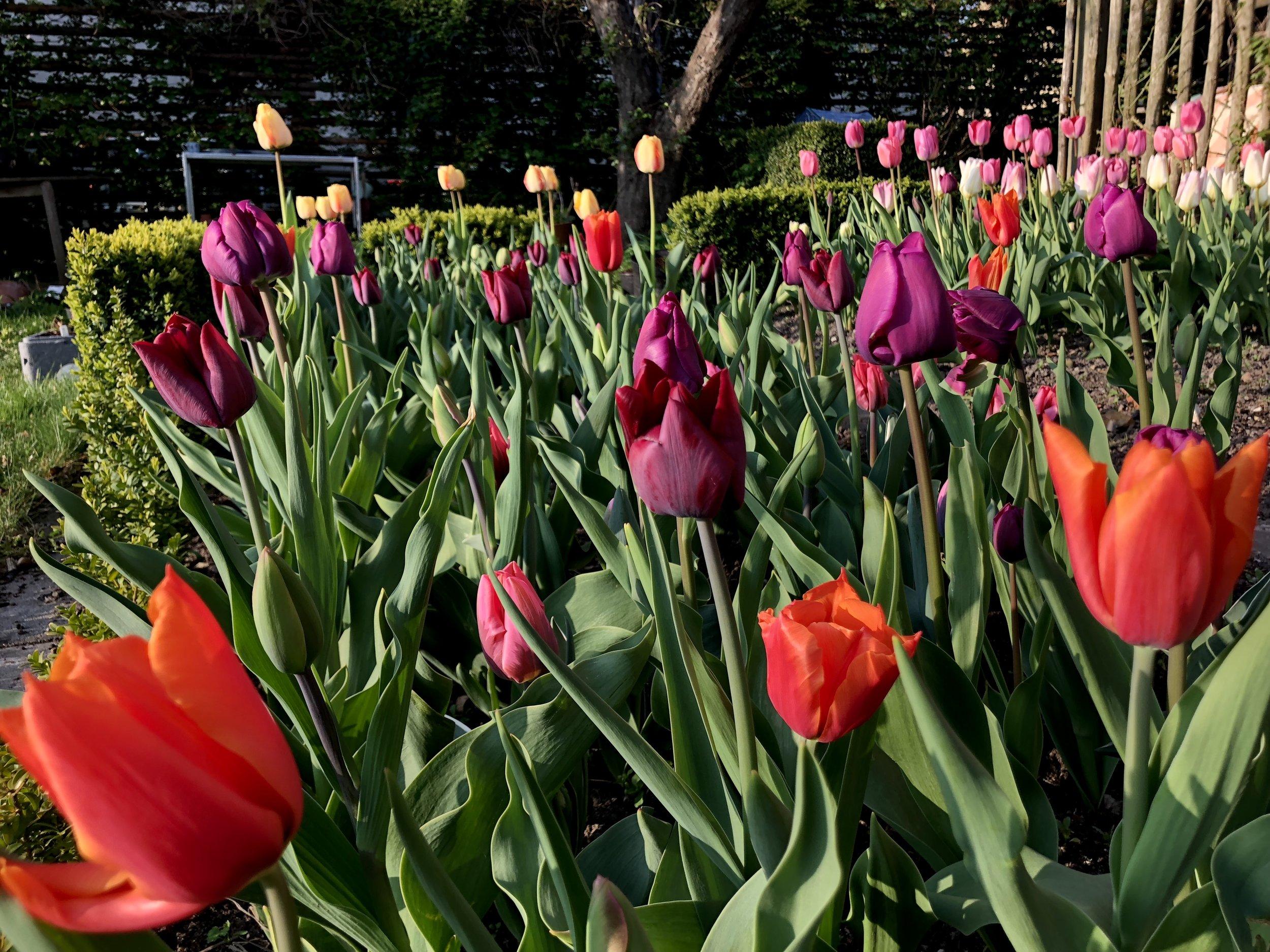 Tulipaner à la Kenzo: 'Queen of Night', 'Nightrider', 'Orange Dynasty' og 'Pretty Princess'