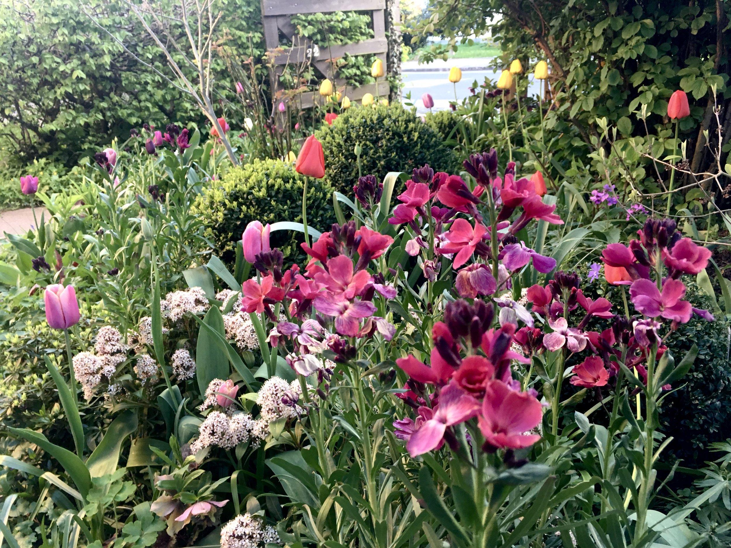 Bag gyldenlakkerne anes de gammeldags røde og gule Appeldoorn, som i modsætning til de fleste andre tulipaner kommer igen år efter år efter år. De er faktisk umulige at komme af med (jeg har prøvet, for jeg kan ikke lide farverne). Nu bærer jeg over med dem, og plukker løs, hvis jeg synes, at de larmer for meget.