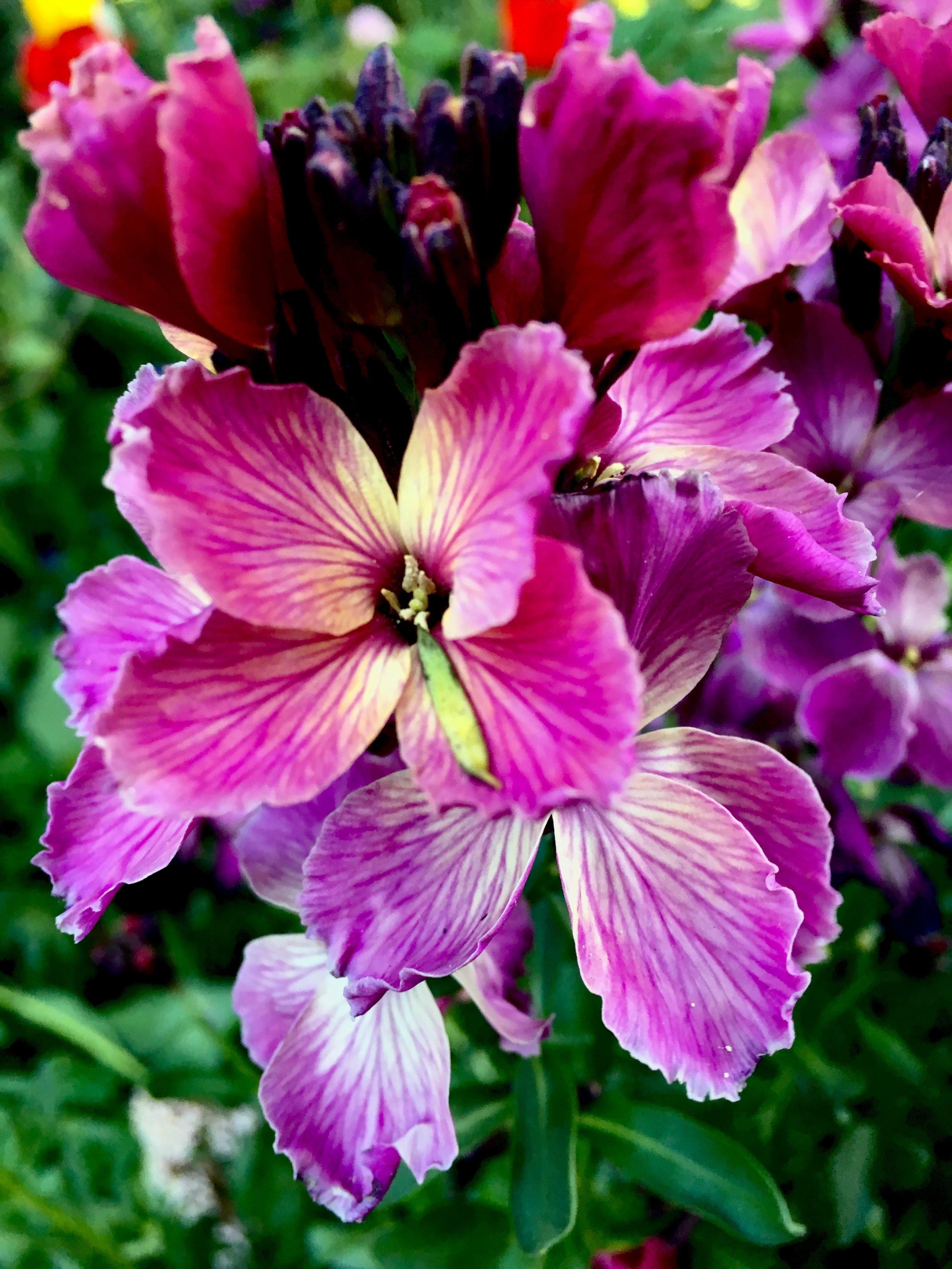 Gyldenlak eller Erysimum 'Sunset Purple' dufter dejligt og har det fineste farvespil mellem lilla, lys gul og lyserød.