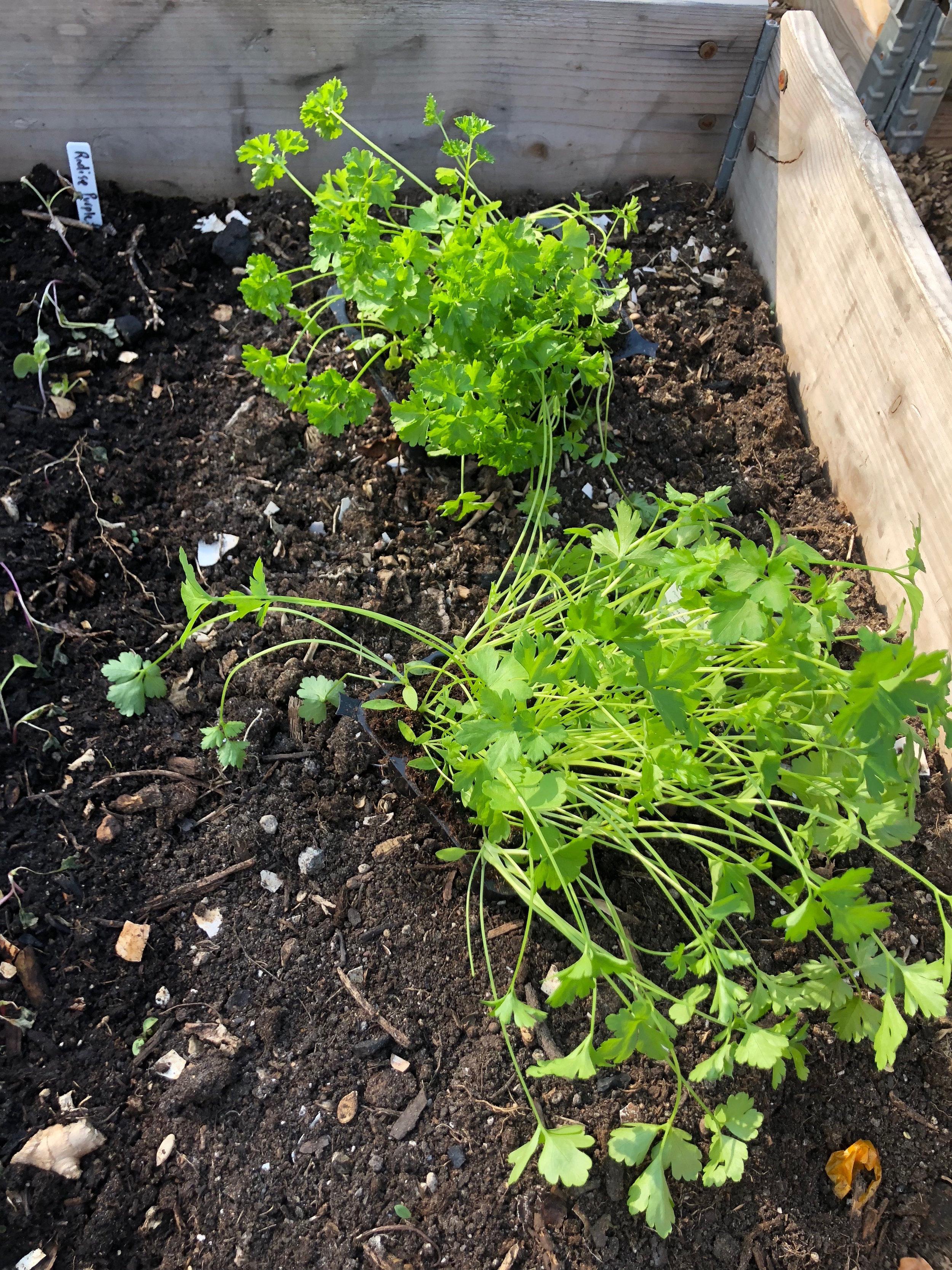 To slags persille - bakker med udplantningsplanter købt på planteskolen til en 20'er stykket.
