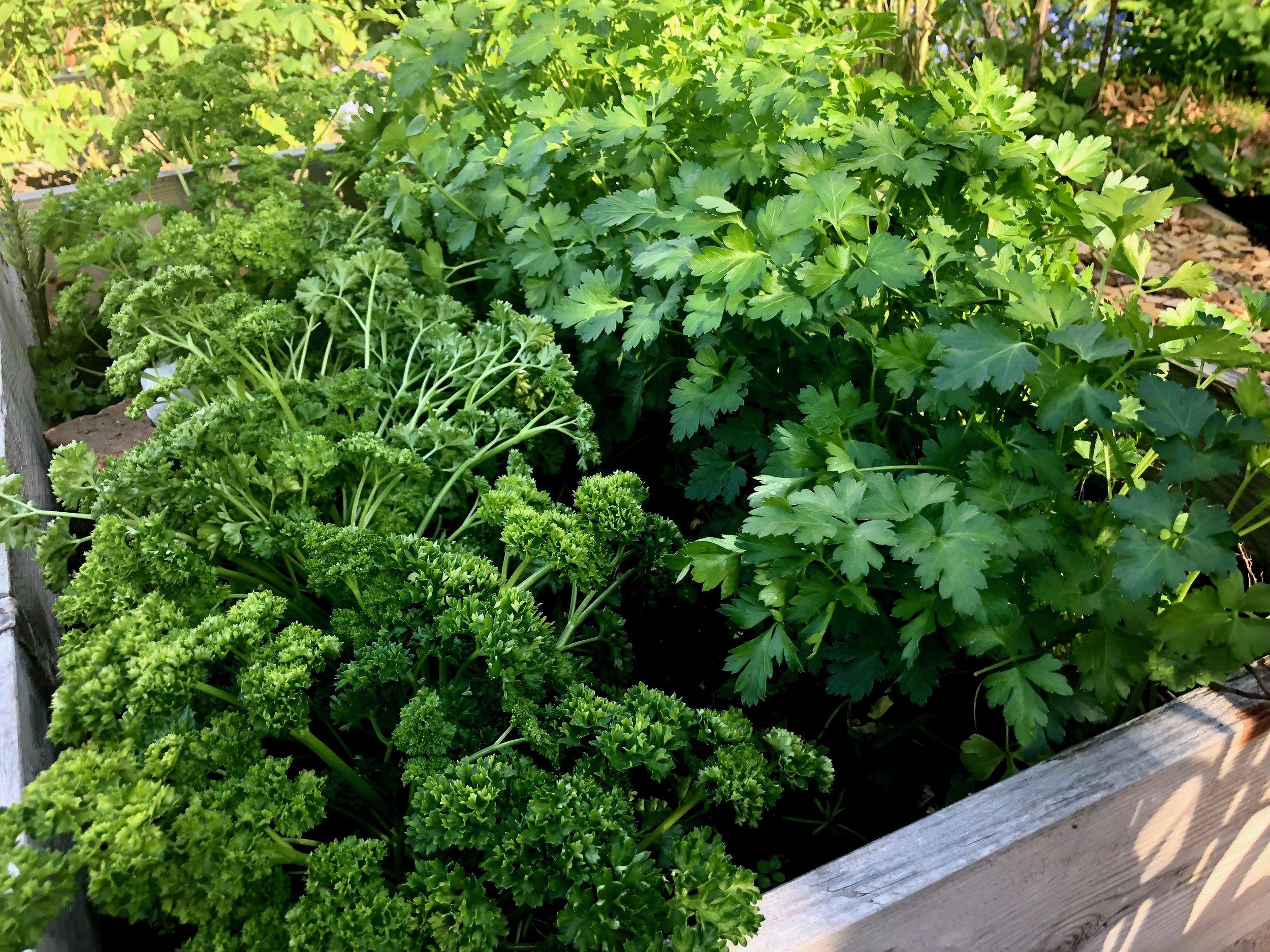 Udplantningsplanterne i højbedet godt en måned senere, hvor jeg allerede har høstet masser af persille.