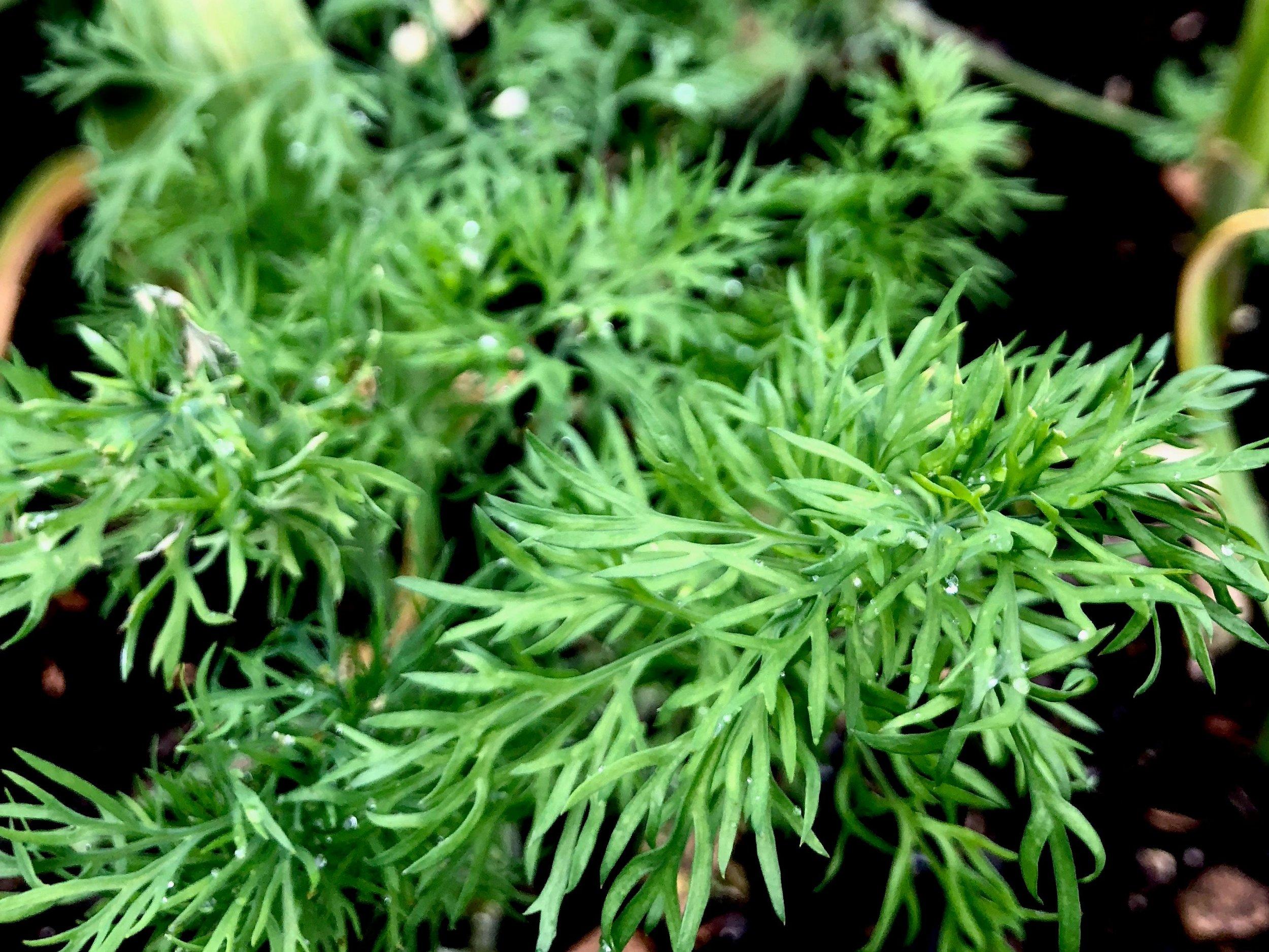 Dild i højbedet. Indtil videre vokser den fint. Dild fylder ikke så meget ved jorden og kan derfor plantes mellem andre planter, der ikke er så pladskrævende. Her vokser dild mellem hvidløg.
