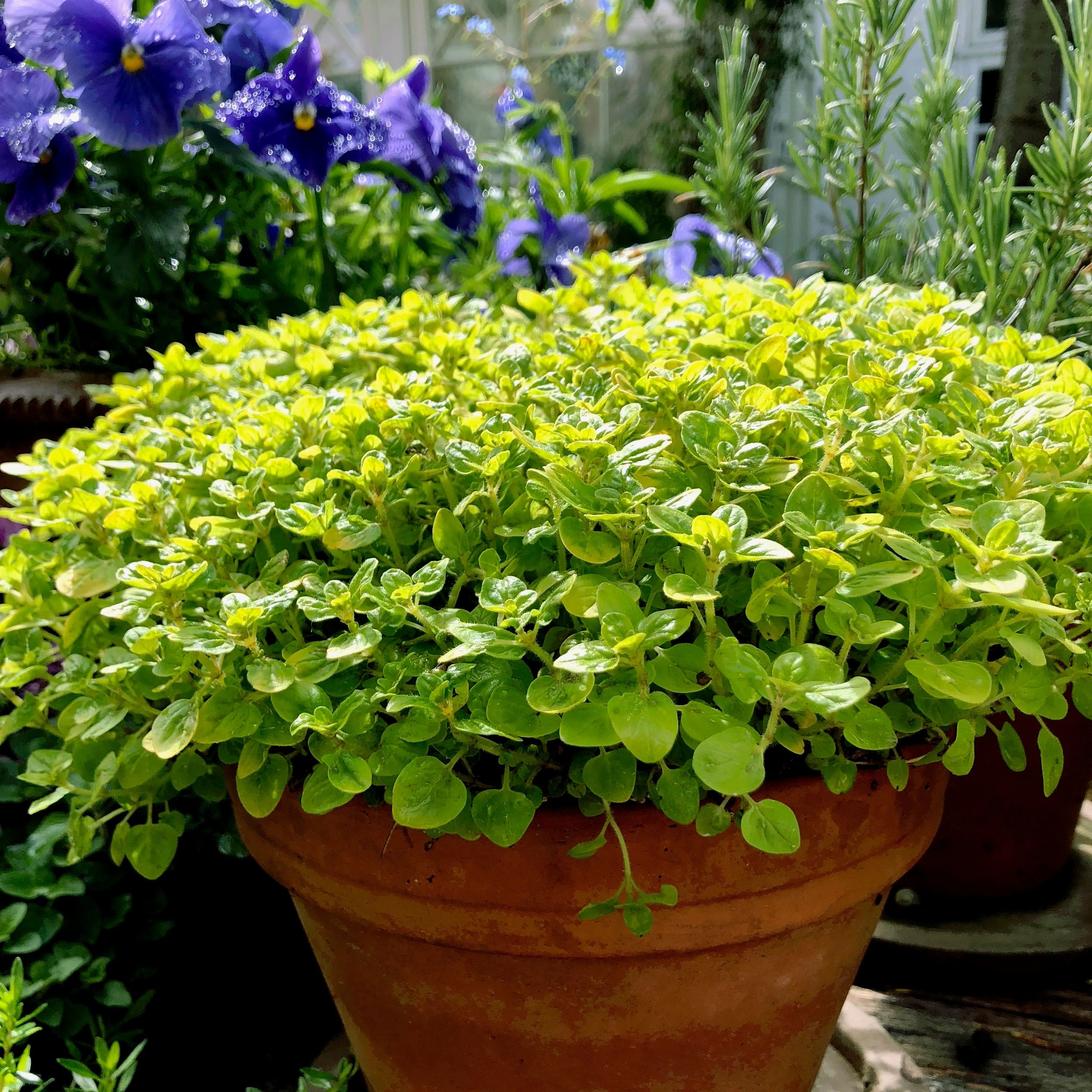 Der findes også en fin sort med gule blade. Gylden oregano eller på latin Oreganum aureum. Her fotograferet hos en af mine havevenner.