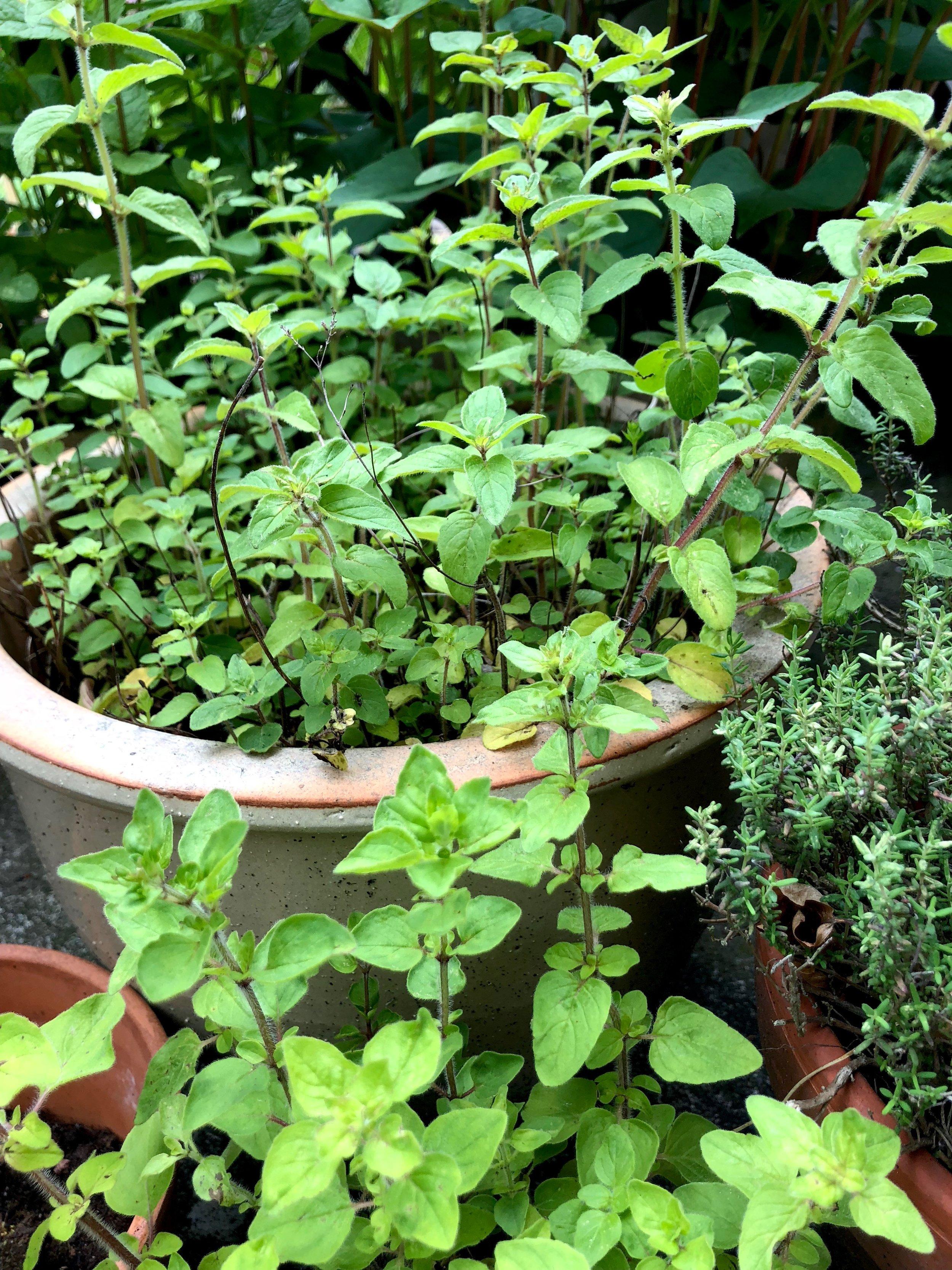 Forrest den græske oregano, som jeg spiser af. Bagest er til insekterne.