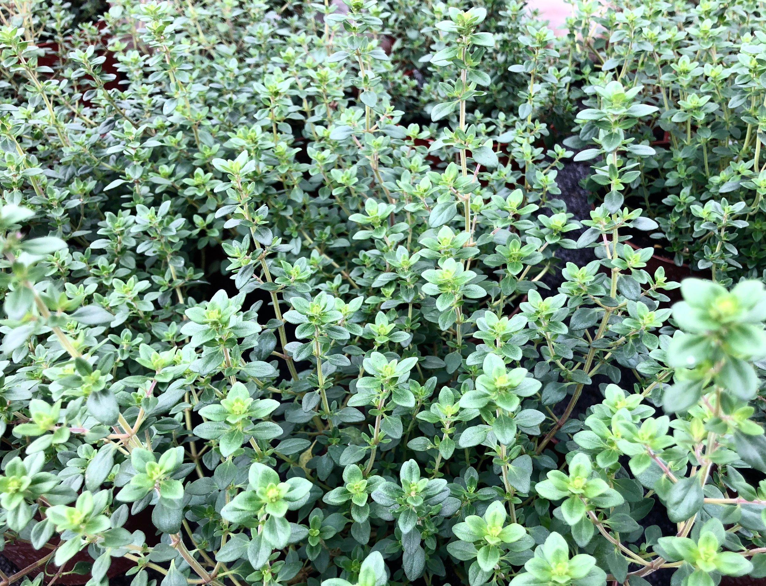 Der findes utroligt mange slags timian: citrontimian, appelsintimian, lodden timian, almindelig timian, smalbladet timian. Jeg har den almindelige og en citrontimian.