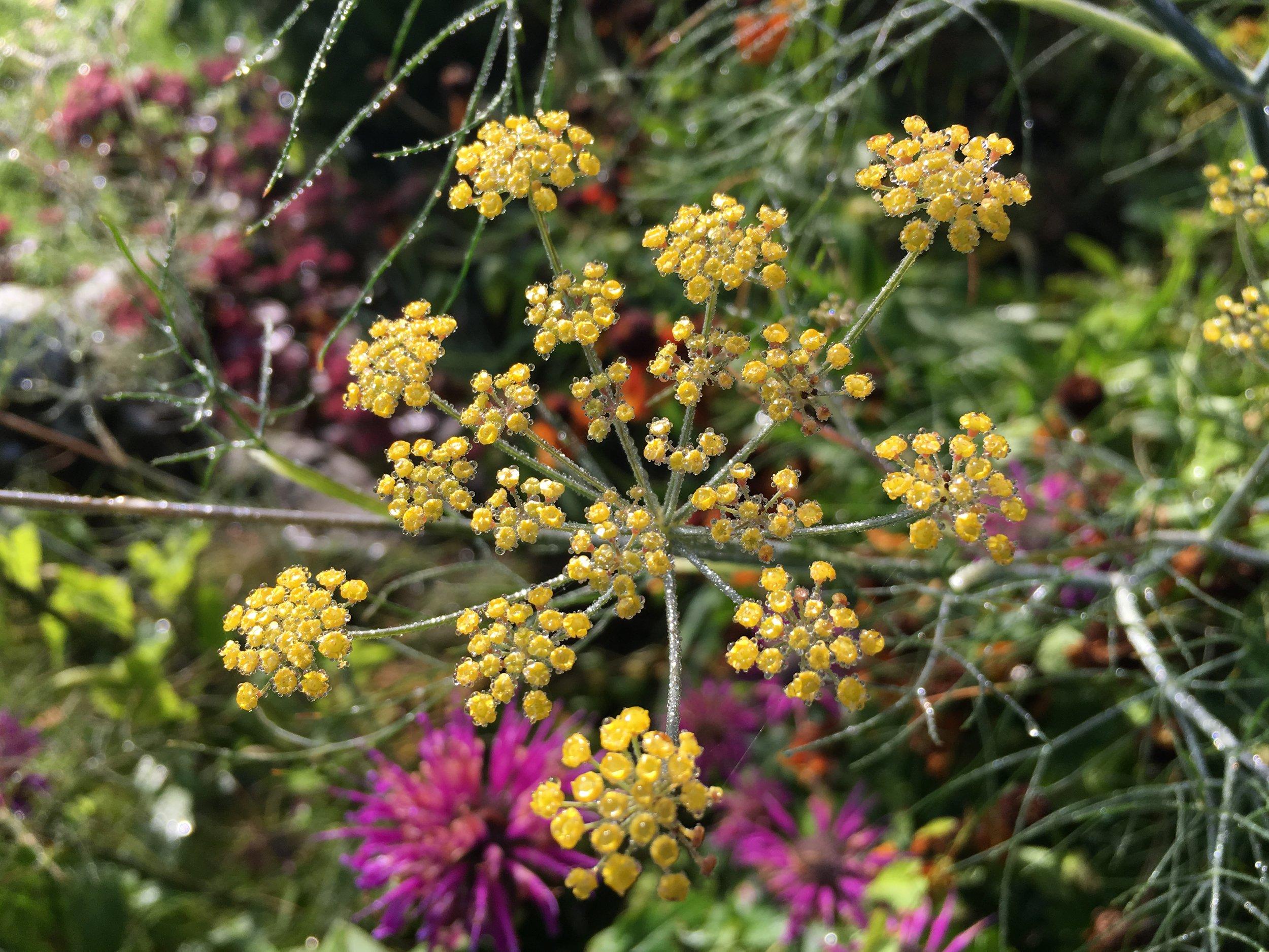 Bronzefennikels lysegule skærmblomster. På latin hedder den Foeniculum vulgare var. purpurascens.