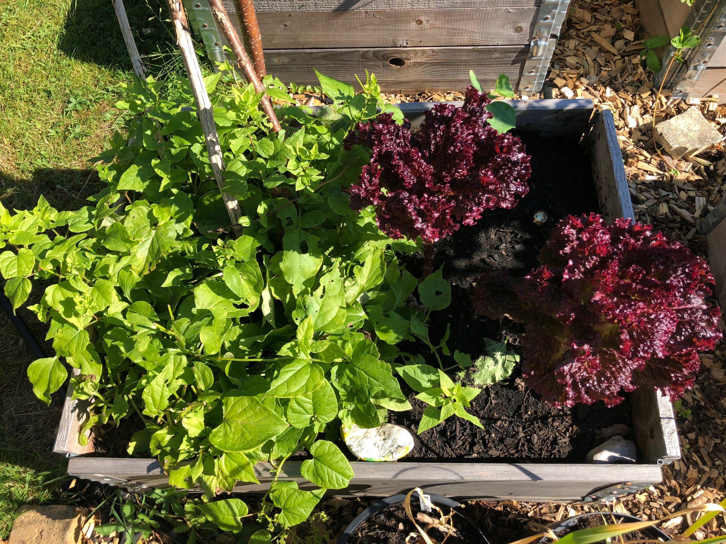 Spinatranke og salat