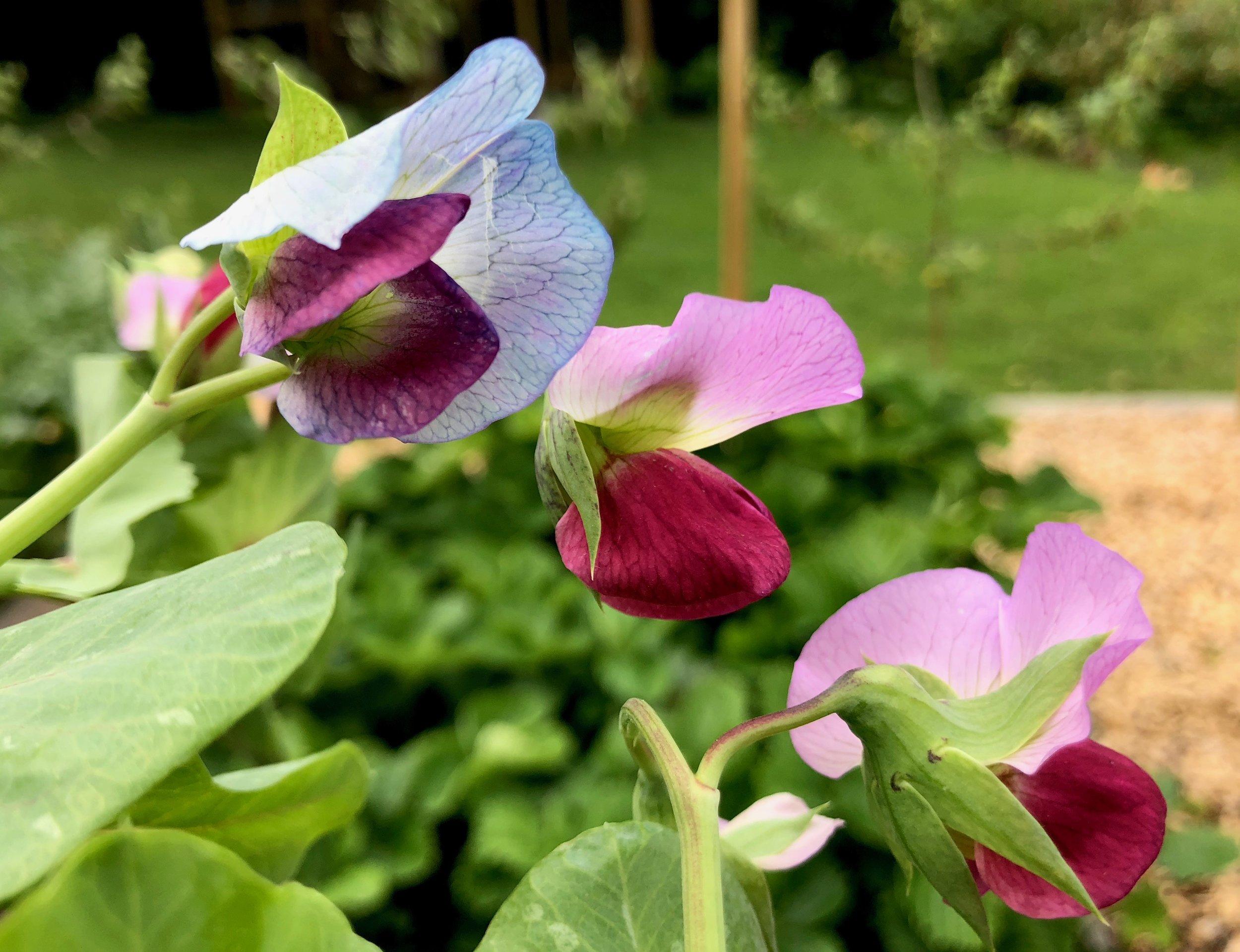 Det er utroligt så mange forskellige nuancer, blomsterne får på de her blå ærter.