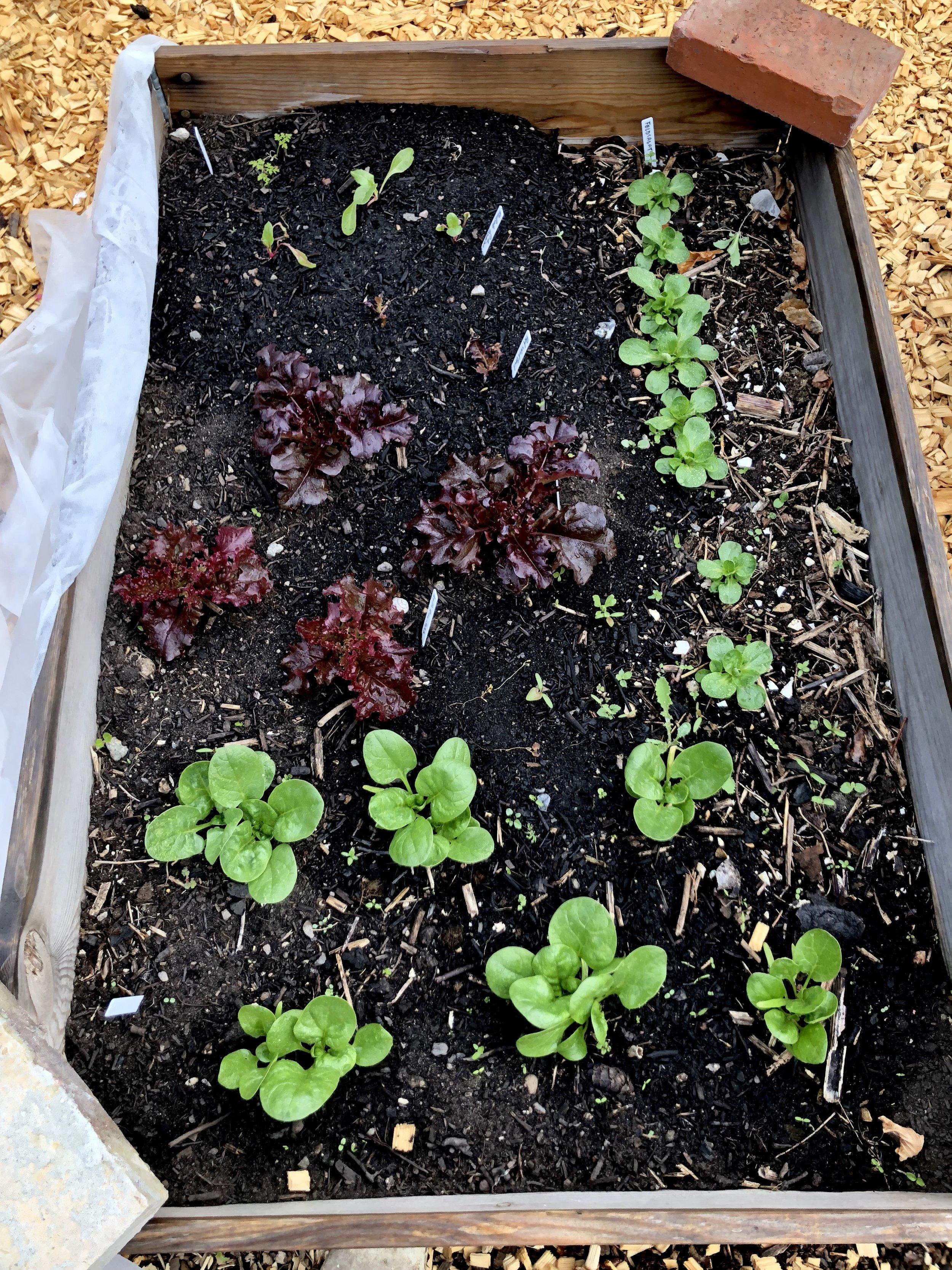 Rodekassen i april: forrest er det spinat, bagest til højre feldsalat, midt i to gange 'Lollo rosa' og to gange 'Red Salad Bowl'. Bagest er det forspirede bladbeder, der netop er plantet ud. Dem har jeg spist af til frokost i dag.