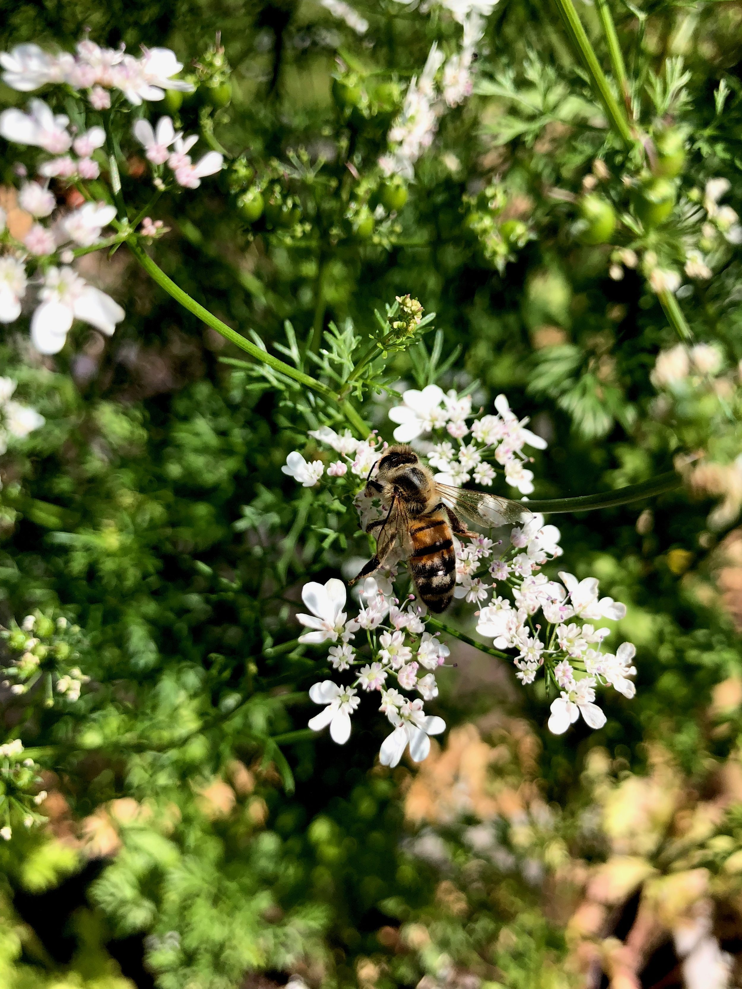 Koriander og bi