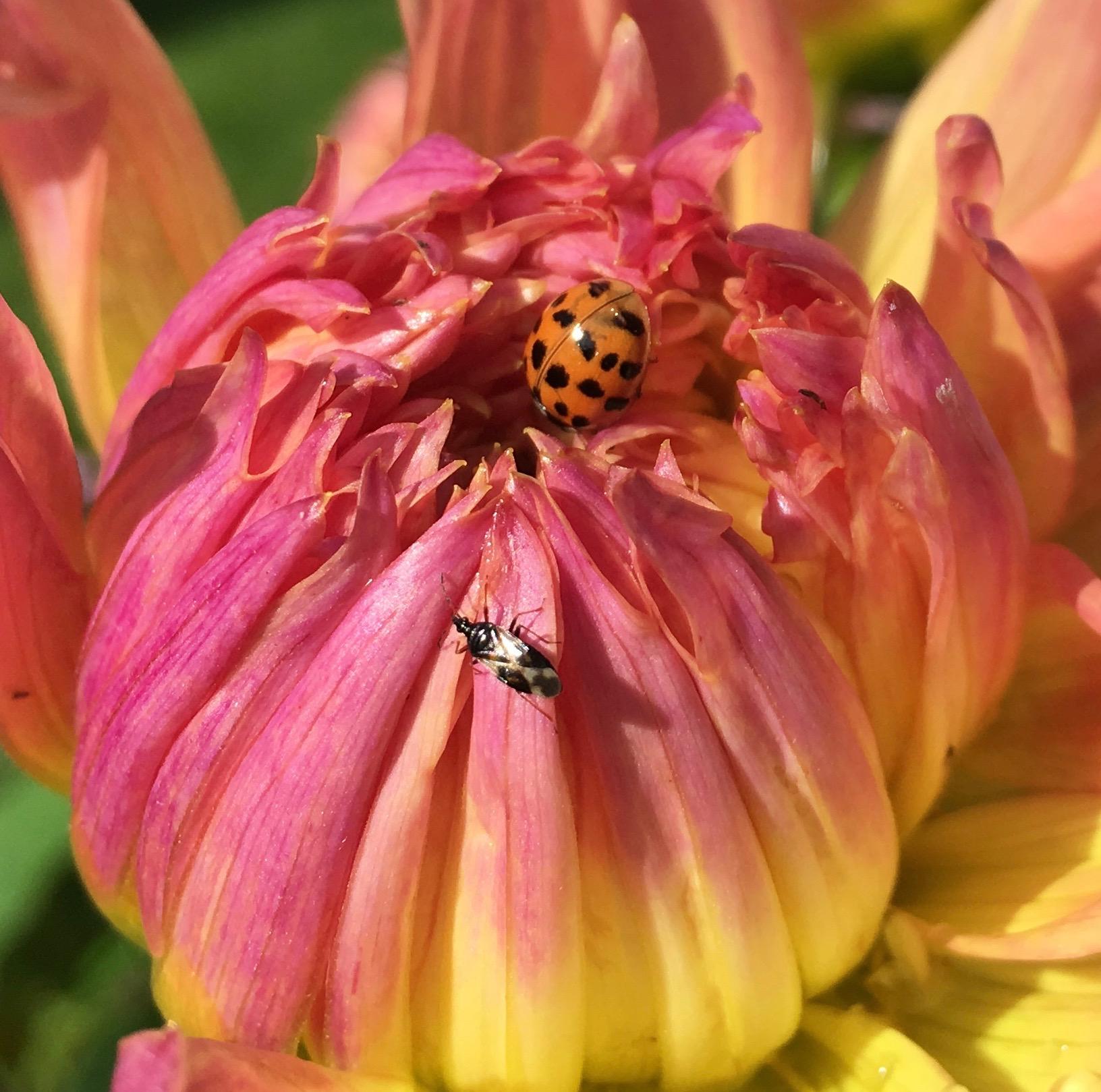 Georginerne blomstrer nu. Her er en mariehøne sammen med en insekt-fidus, jeg ikke kender navnet på (en læser har gjort mig opmærksom på, at det er en blomstertæge af en art - tak for det)