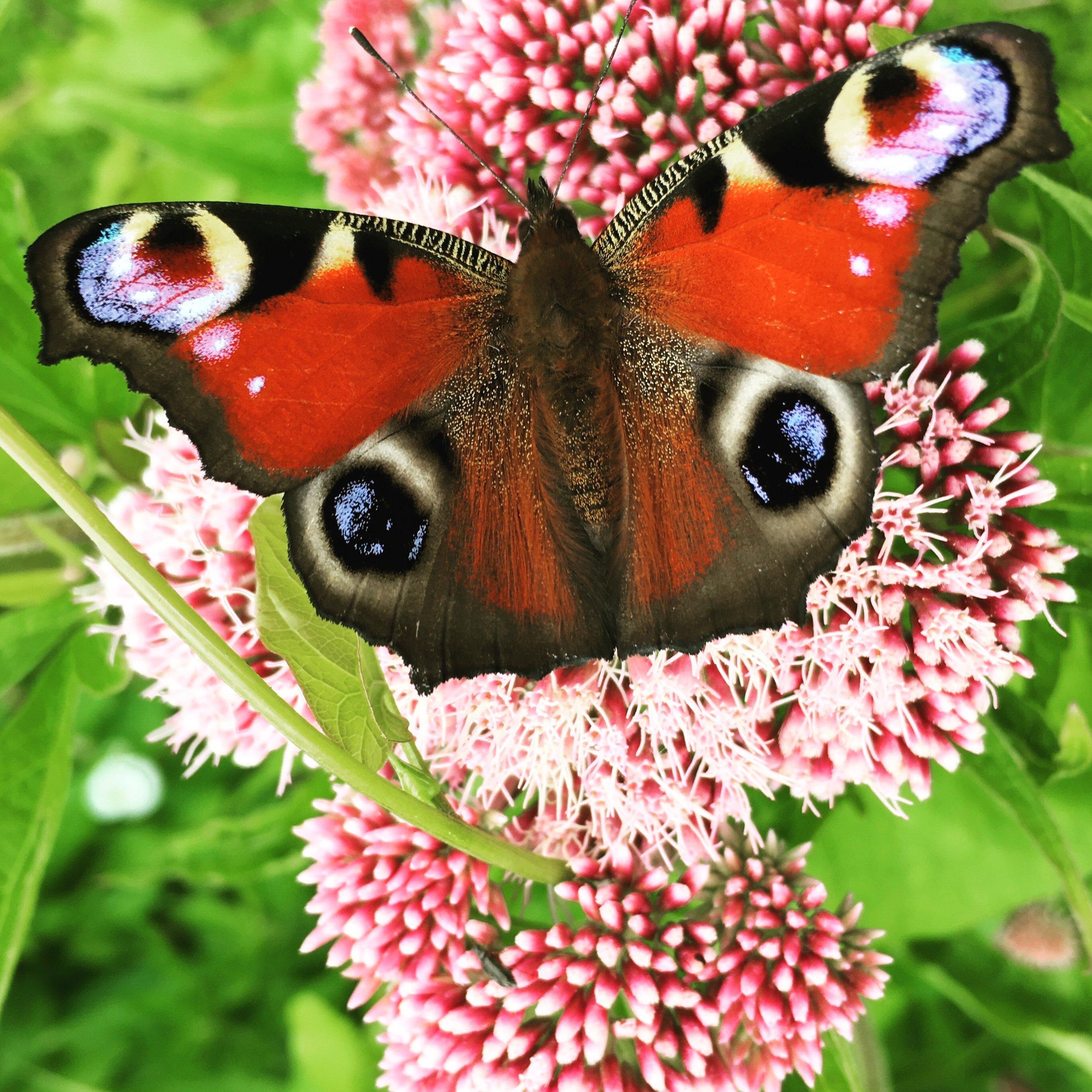 En dagpåfugleøje er landet på rød hjortetrøst, en høj staude der i øjeblikket er fyldt med flaksende sommerfugle. Det er en af de sommerfugle, der kun lægger deres æg på brændenælder.