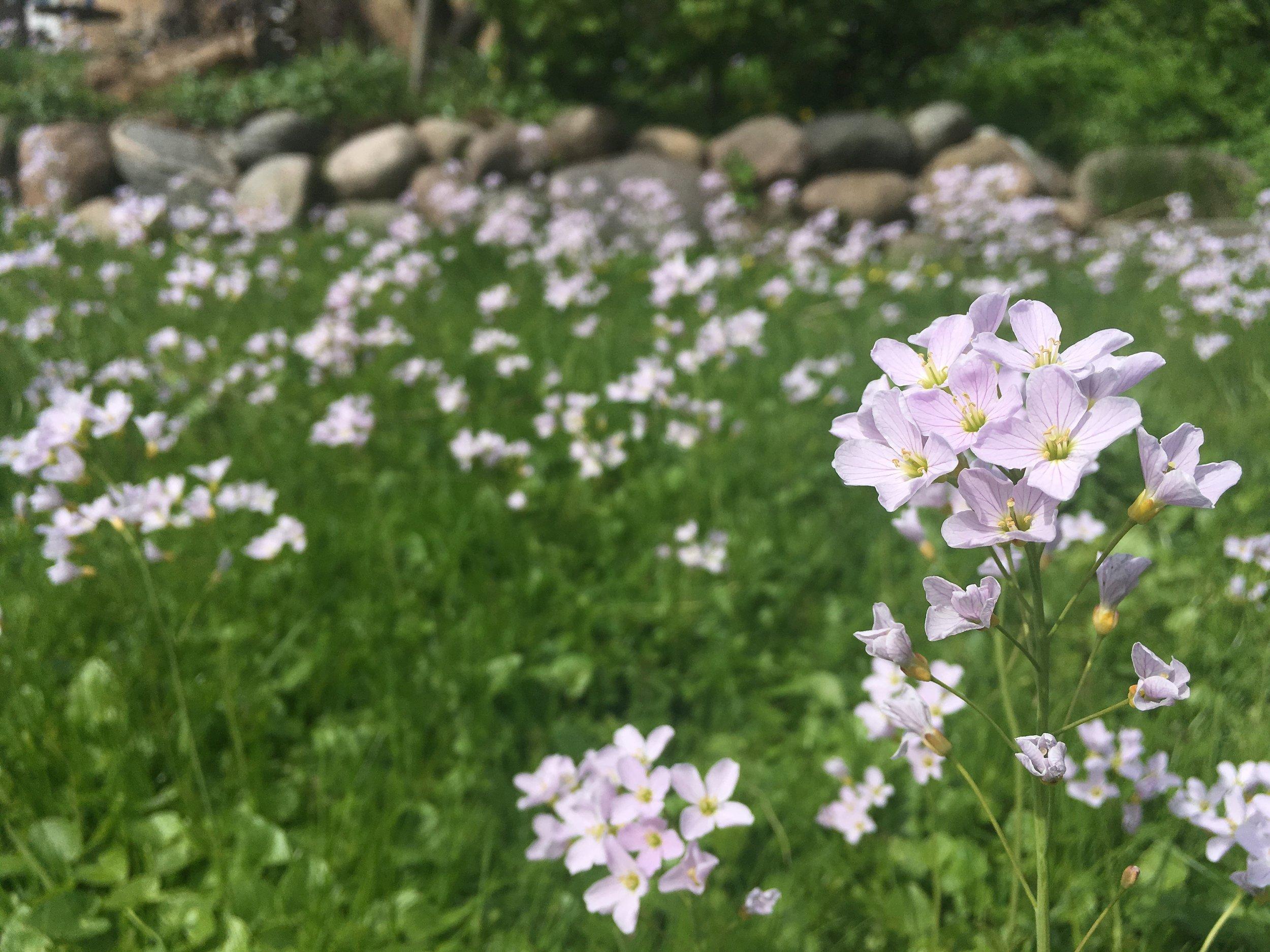 Engkarse i græsplænen. Nogle højtspecialiserede sommerfuglelarver lever af dem, og de er da så fine.