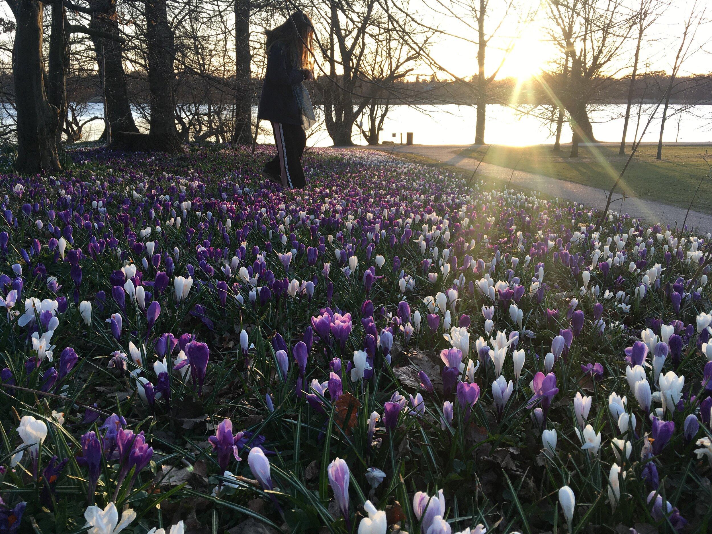 Krokus trives også på lerjord. Det her syn tilhører hverken mig eller en baronesse, men alle der kan finde på at gå tur ved Gentofte Sø om foråret. PS - der er en lille sti, hvor min datter træder. Hun tramper naturligvis ikke krokusblomsterne flade.