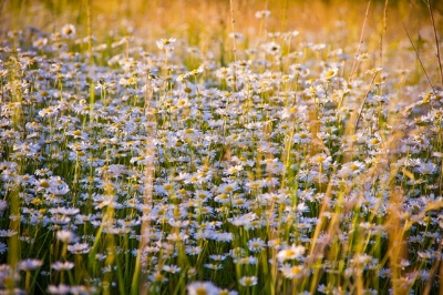 Chamomile- one of the organic herbs in soothing bath tea
