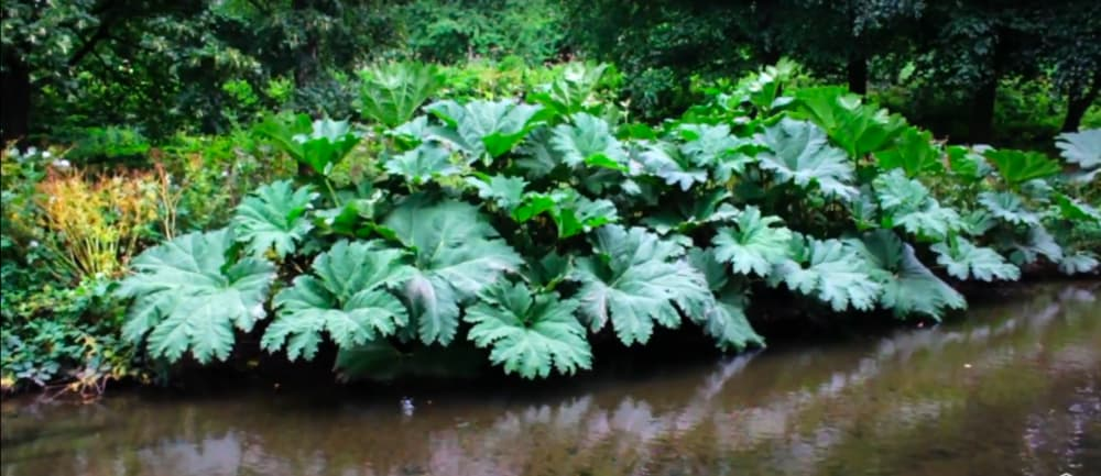 Screenshot taken from Walk of the Week, ep 5. Bute Park. Giant plants growing out of the side of Mill Leat, which surrounds Cardiff Castle in the grounds of Bute Park.