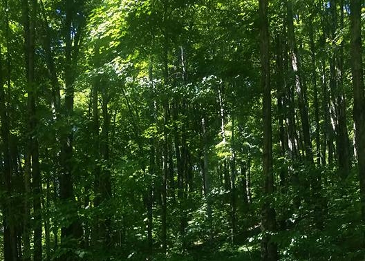 goldenseal forest.jpg