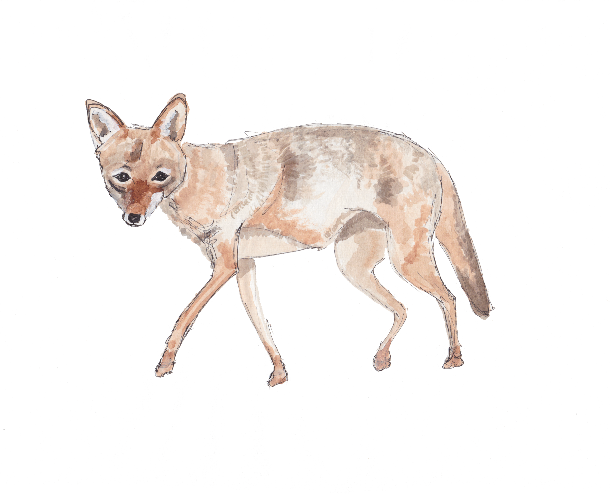 coyote-2.png