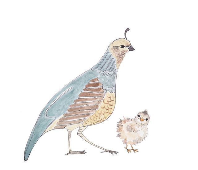 California Quail cards now in stock. Pack of 6 cards, 2 of each design per pack. #californiaquail