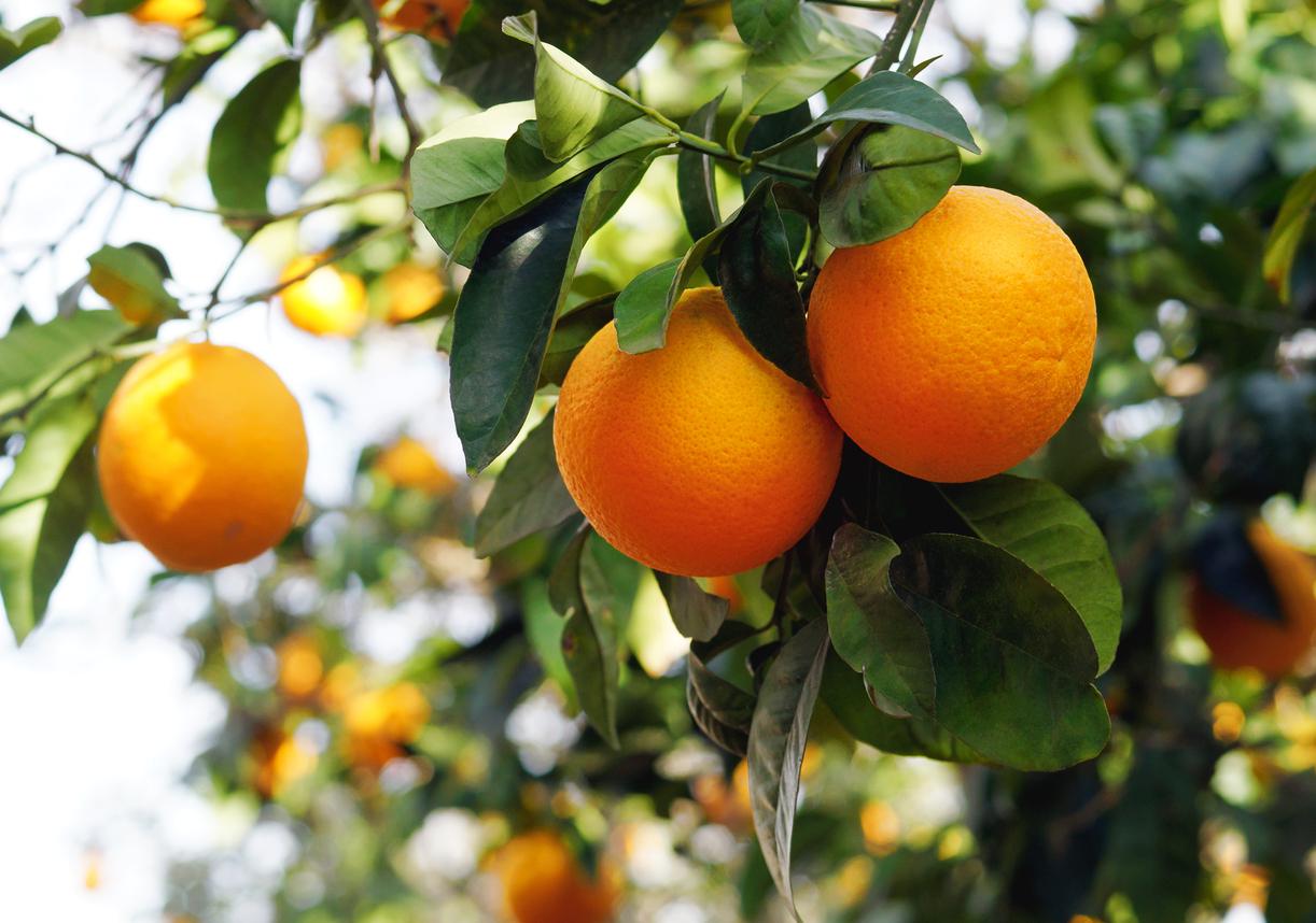 zone-7-citrus-1.jpg
