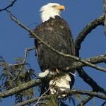 Eagle sightings are abundant