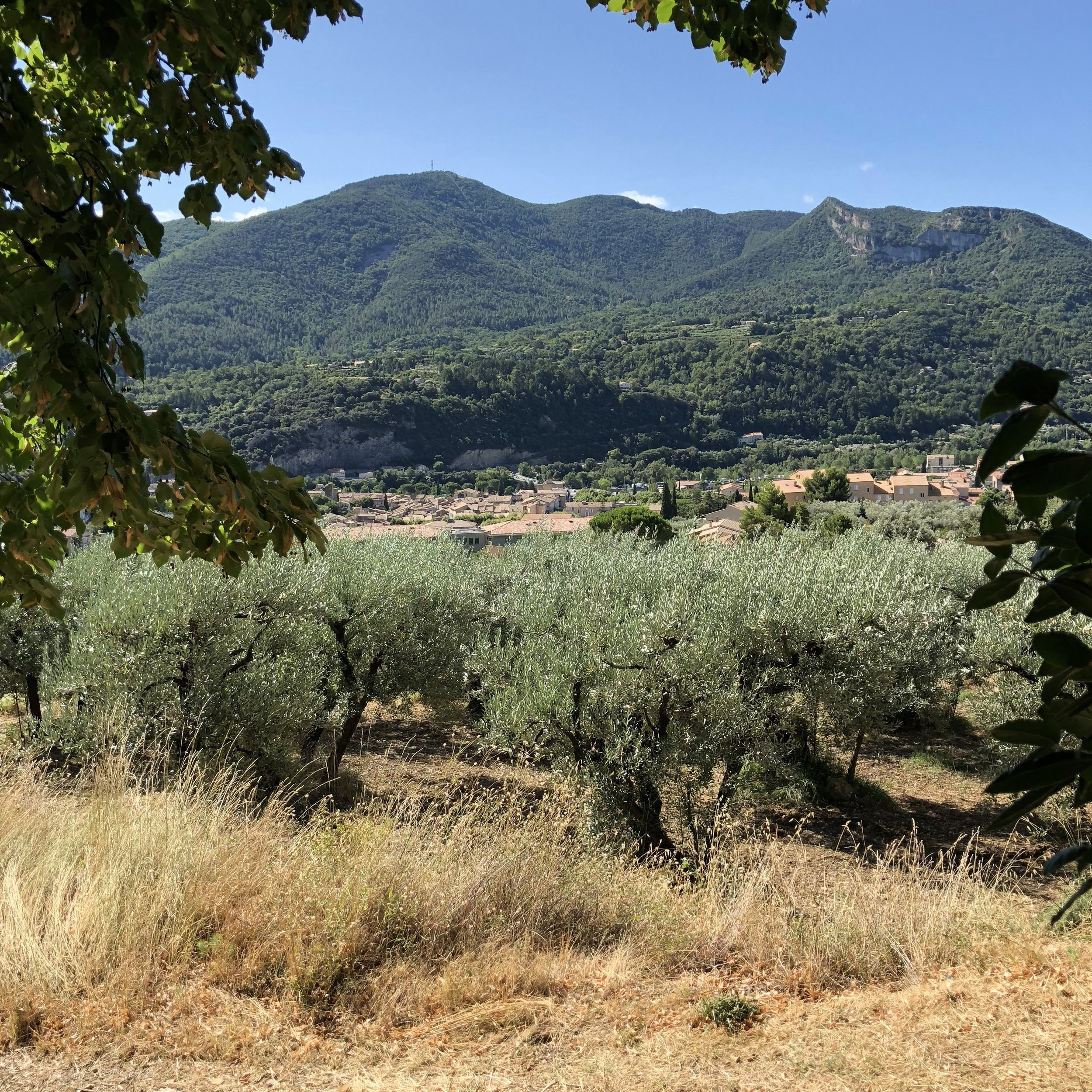Olive groves in the hills around Nyons