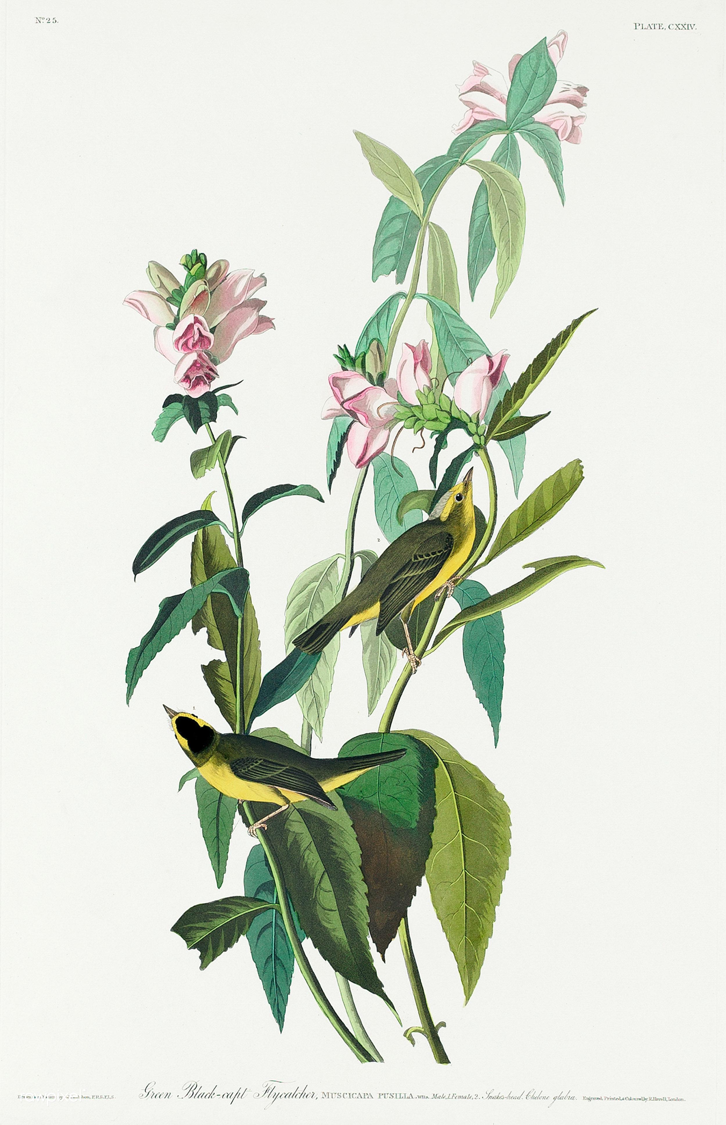 Illustration by John James Audubon's  Birds of America  (1827), Wikimedia Commons.