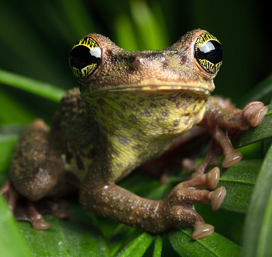 bigstock-Tropical-rainforest-tree-frog--174695728.jpg