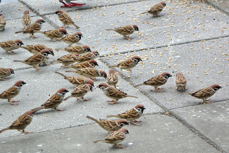 bigstock-A-Flock-Of-Brown-Sparrows-Feed-238171231.jpg