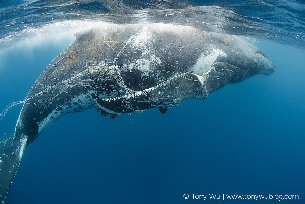Humpback whales are particularly prone to entanglement.