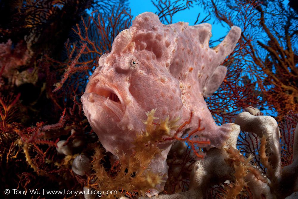 Pink Frogfish