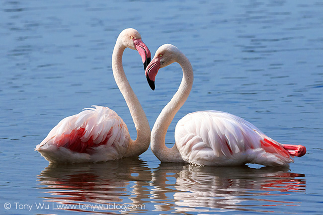 Greater Flamingos ( Phoenicopterus roseus ) making a heart shape