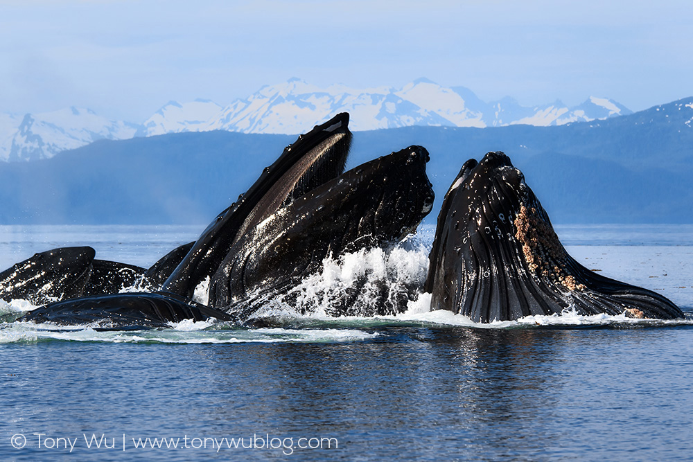 humpback-whales-bubble-net-feeding-tony-wu.jpg
