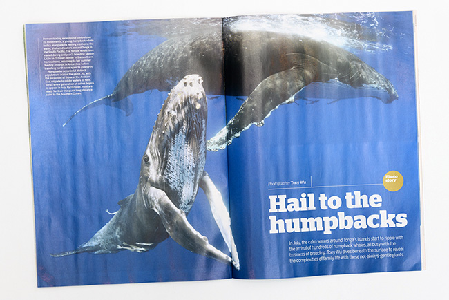 Opening spread of 9-page feature on humpback whales, BBC Wildlife magazine April 2019