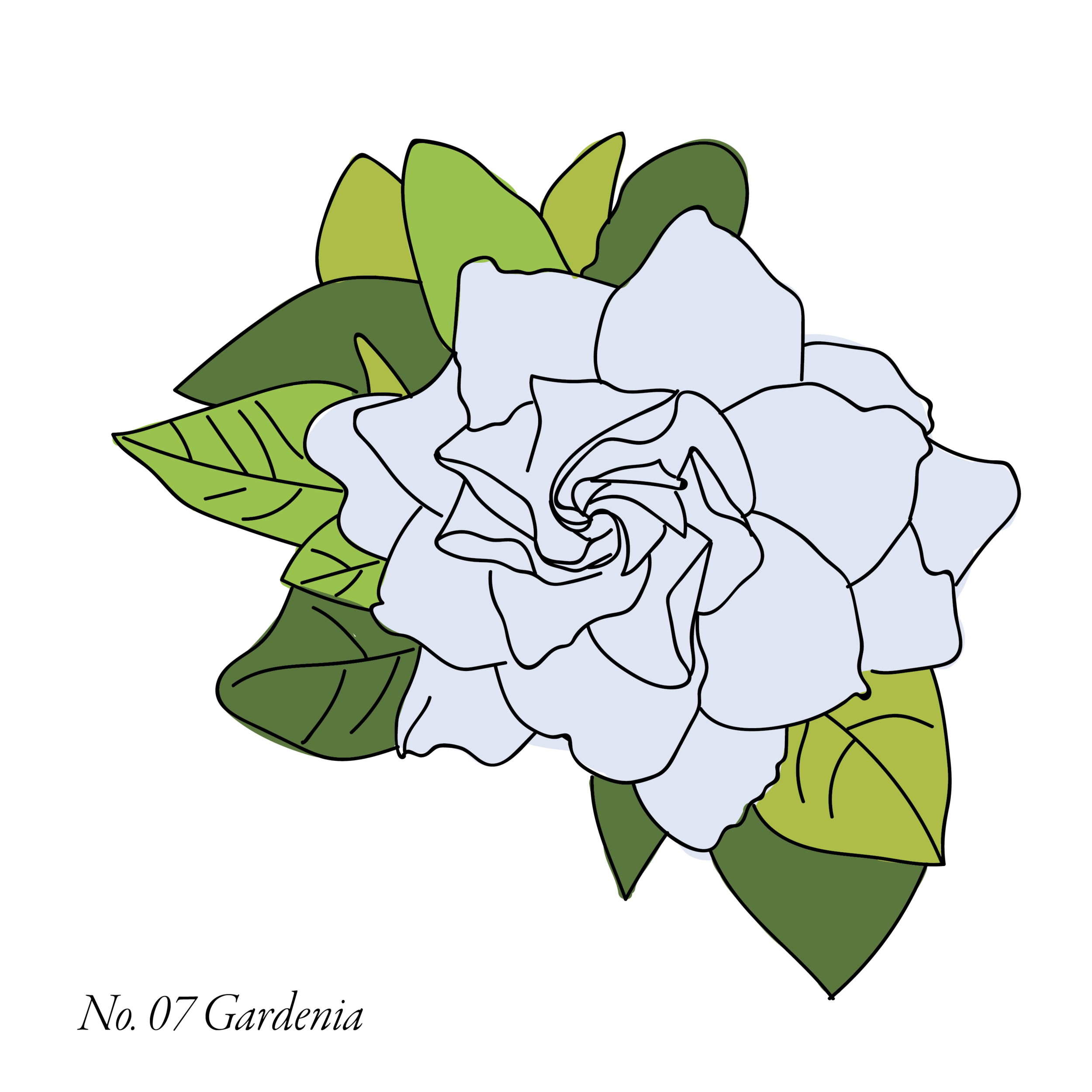 Gardenia-07.png