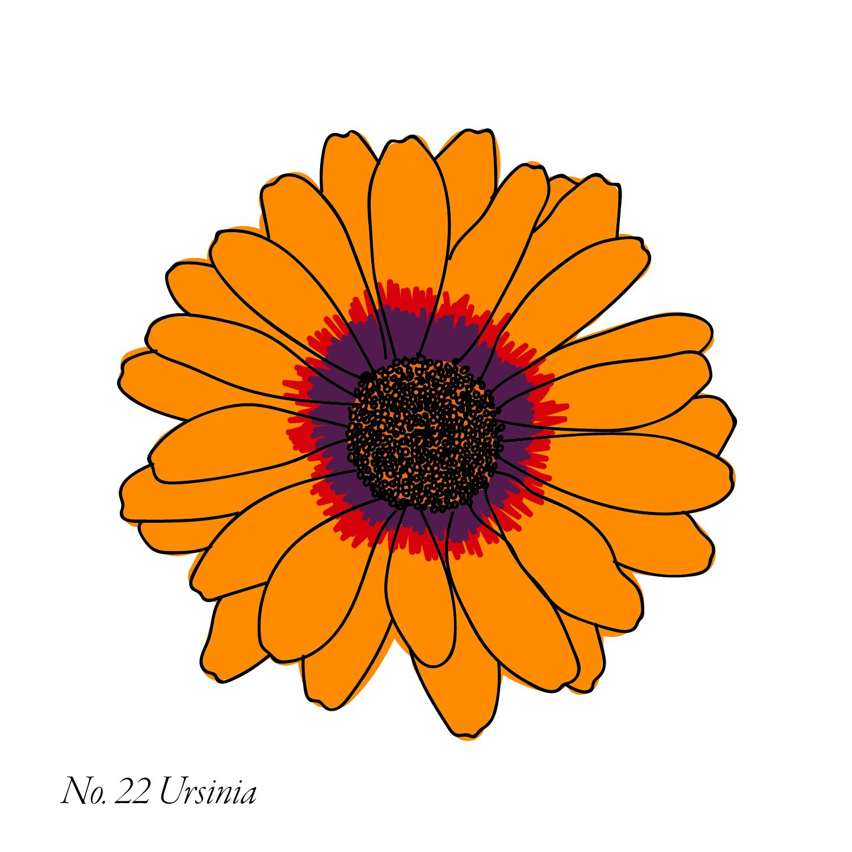 Ursinia-23.jpg