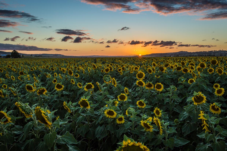 sunflowers-0287-2.jpg