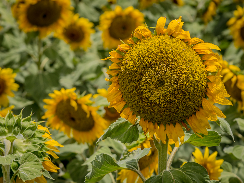 sunflowers-0040-2.jpg