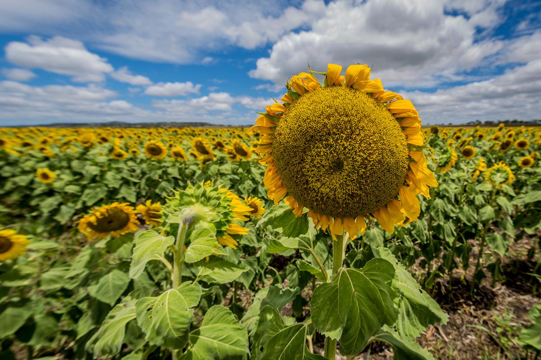sunflowers-0048.jpg
